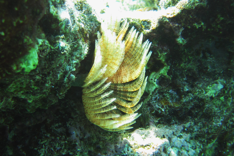 Sabellastarte indica (Sabellastarte spectabilis)