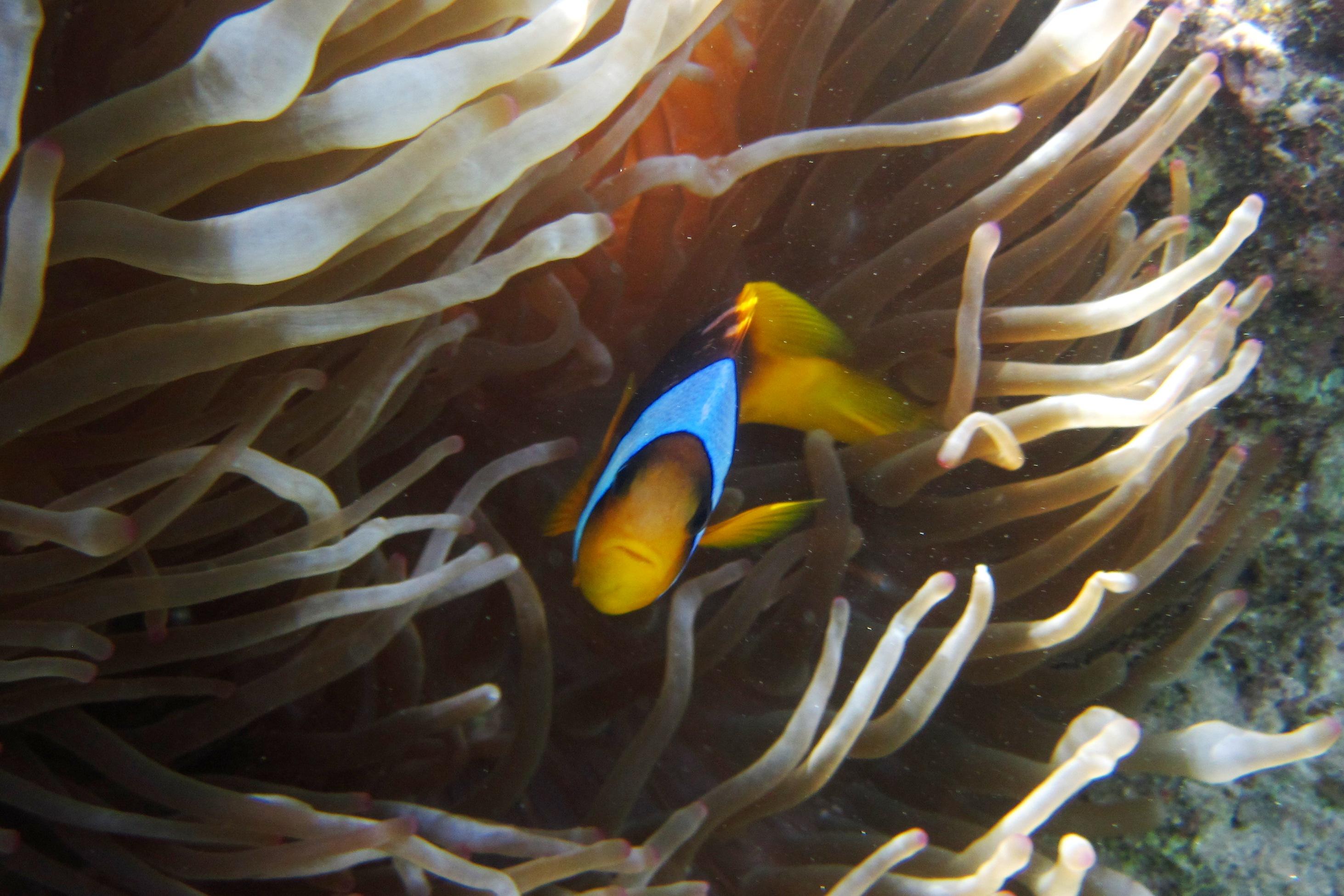 Красноморский двуполосый амфиприон - Amphiprion bicinctus - Twoband anemonefish