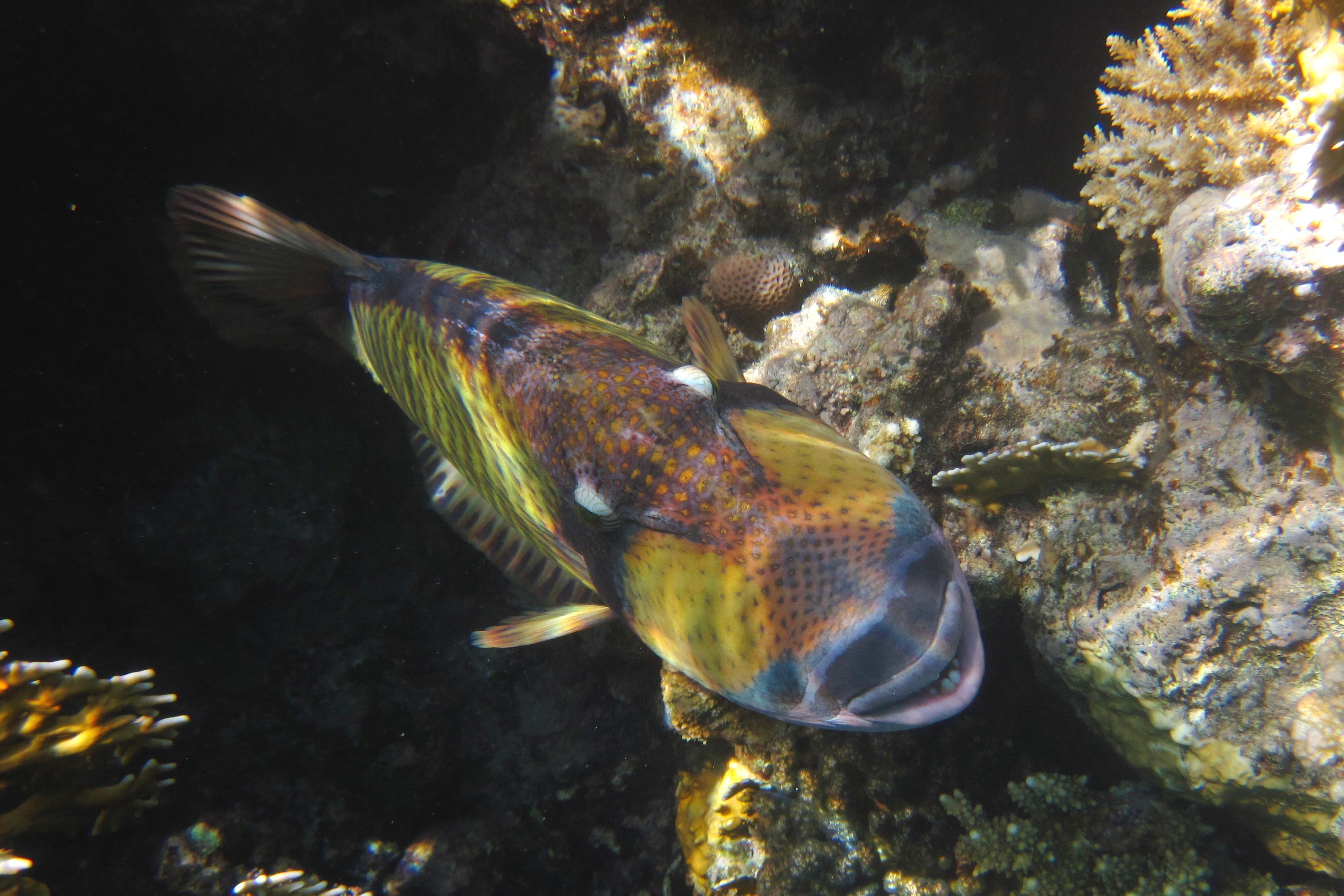 Balistoides viridescens