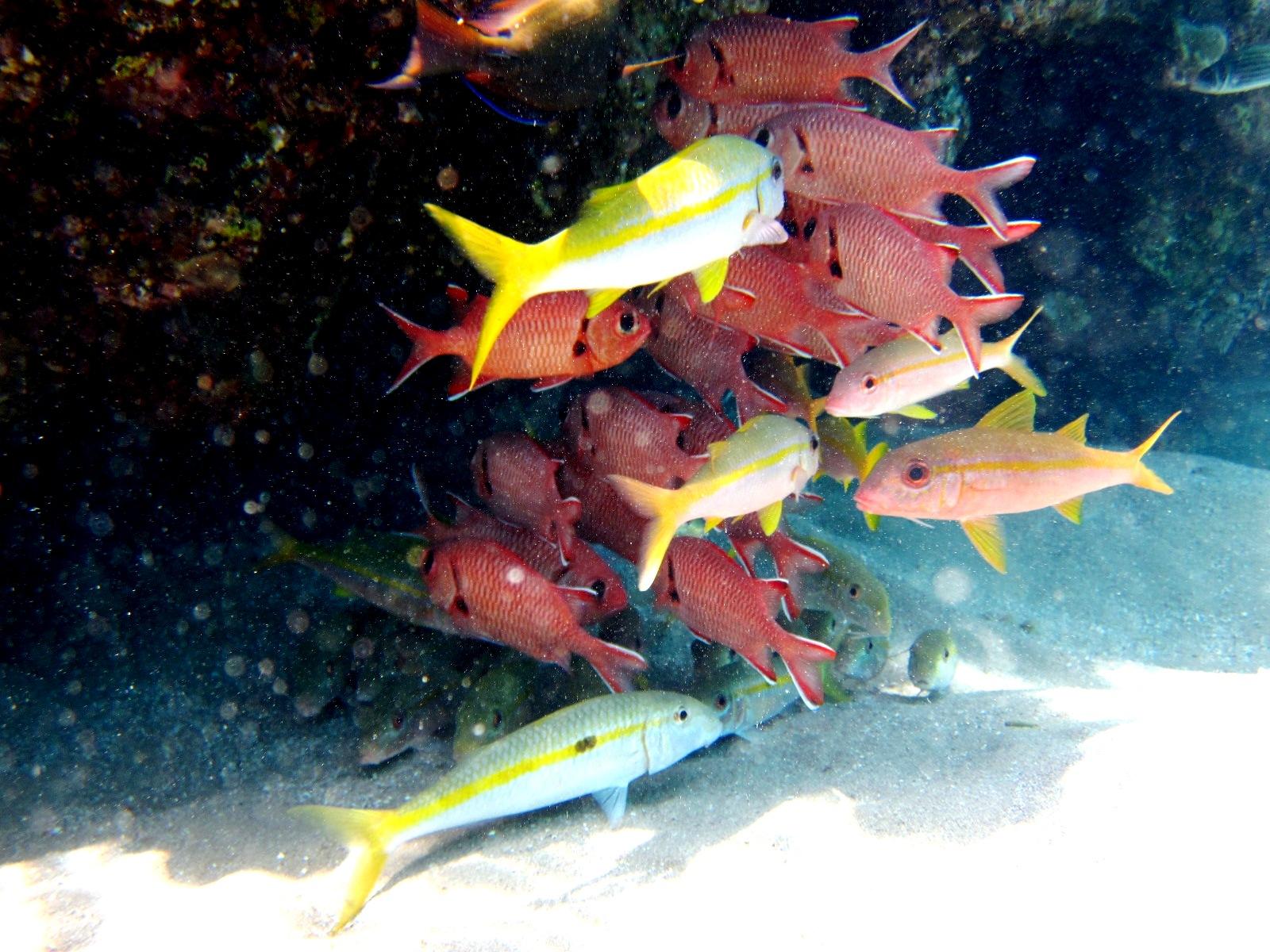 Розовые - Рыба-солдат желтоплавничная - Myripristis berndti, с желтой полосой - Mulloidichthys vanicolensis и Mulloidichthys flavolineatus (с точкой)