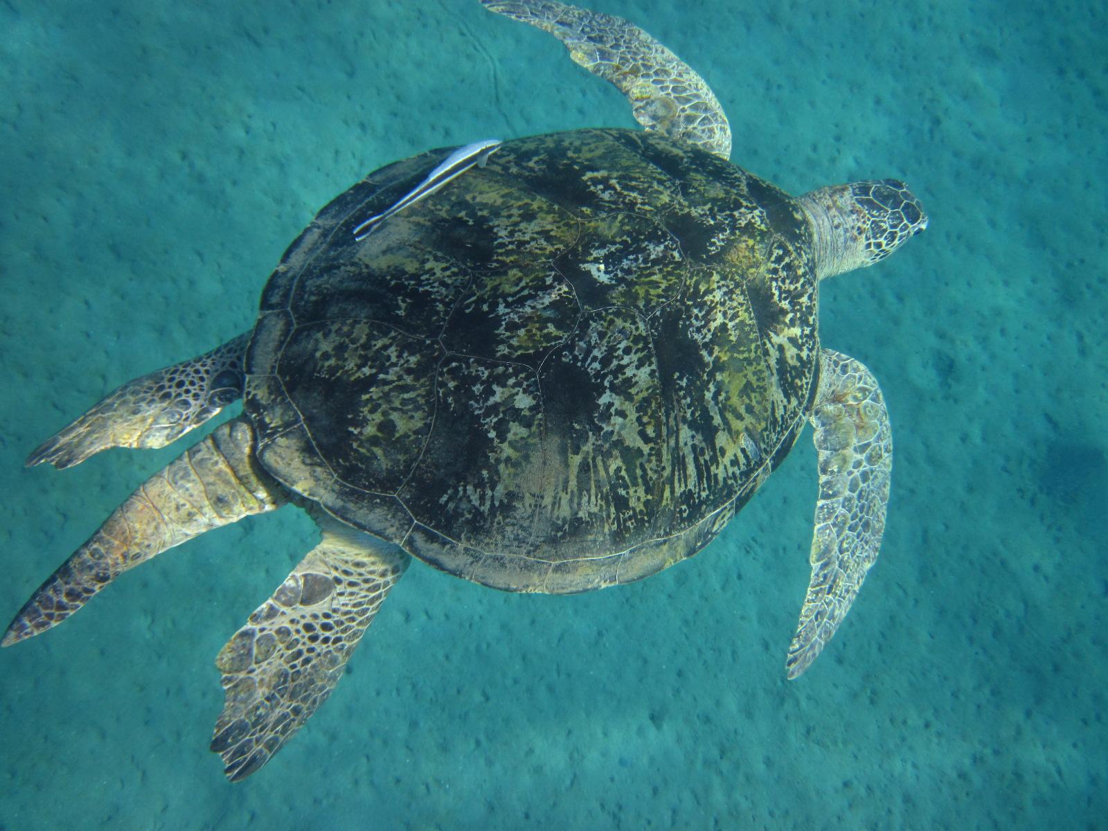 Самец Зелёной черепахи - Chelonia mydas - Green turtle, male