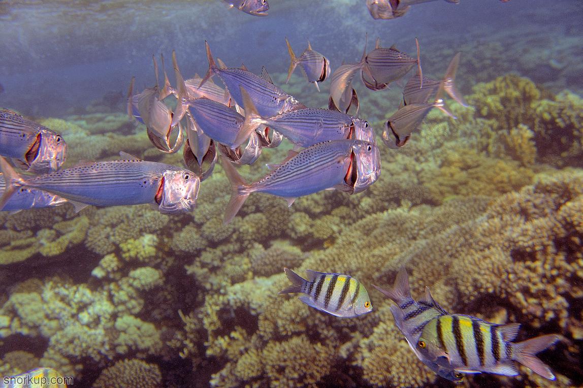 Скумбрии кормяться планктоном