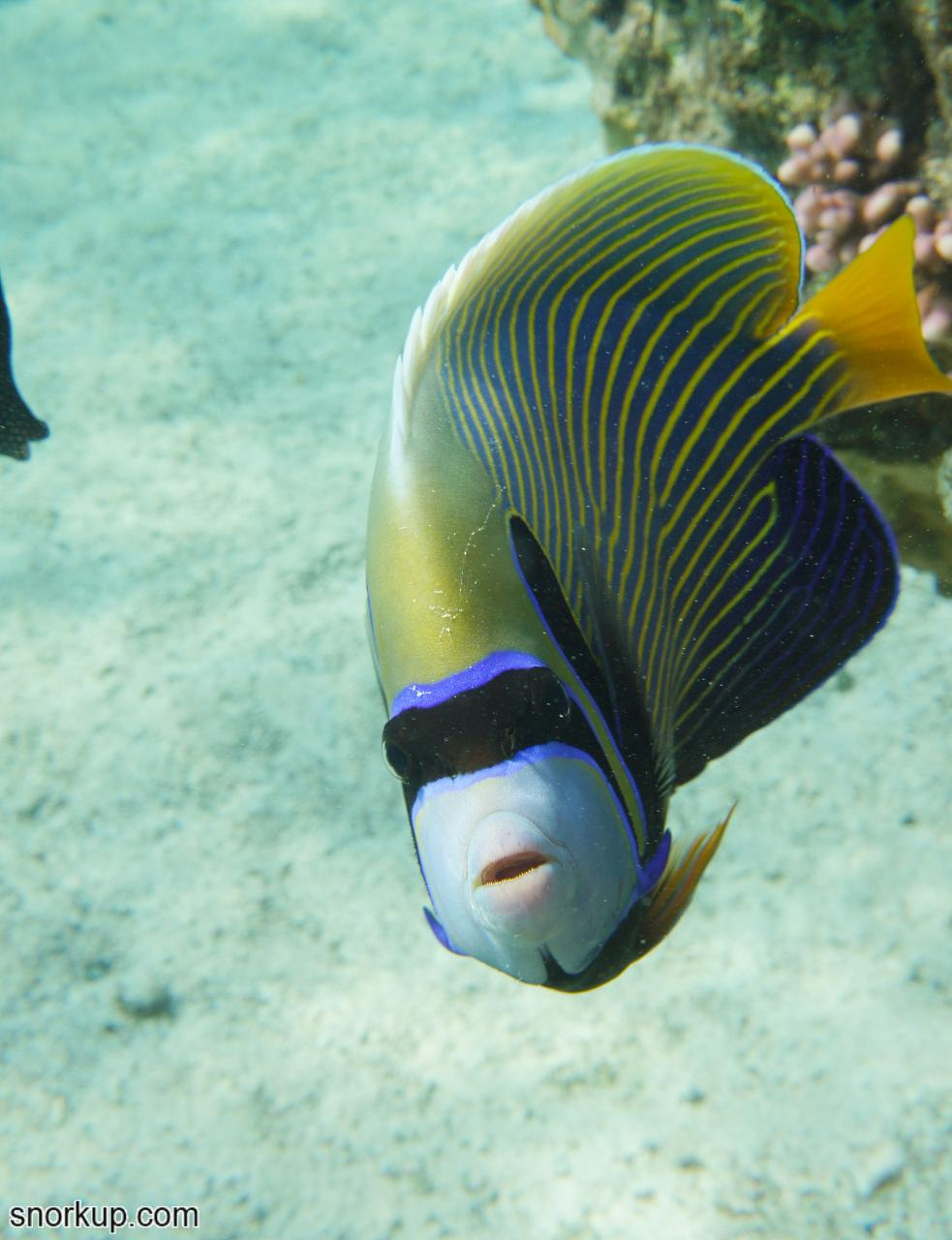 Императорский ангел (лат.Pomacanthus imperator, анг.Emperor angelfish)