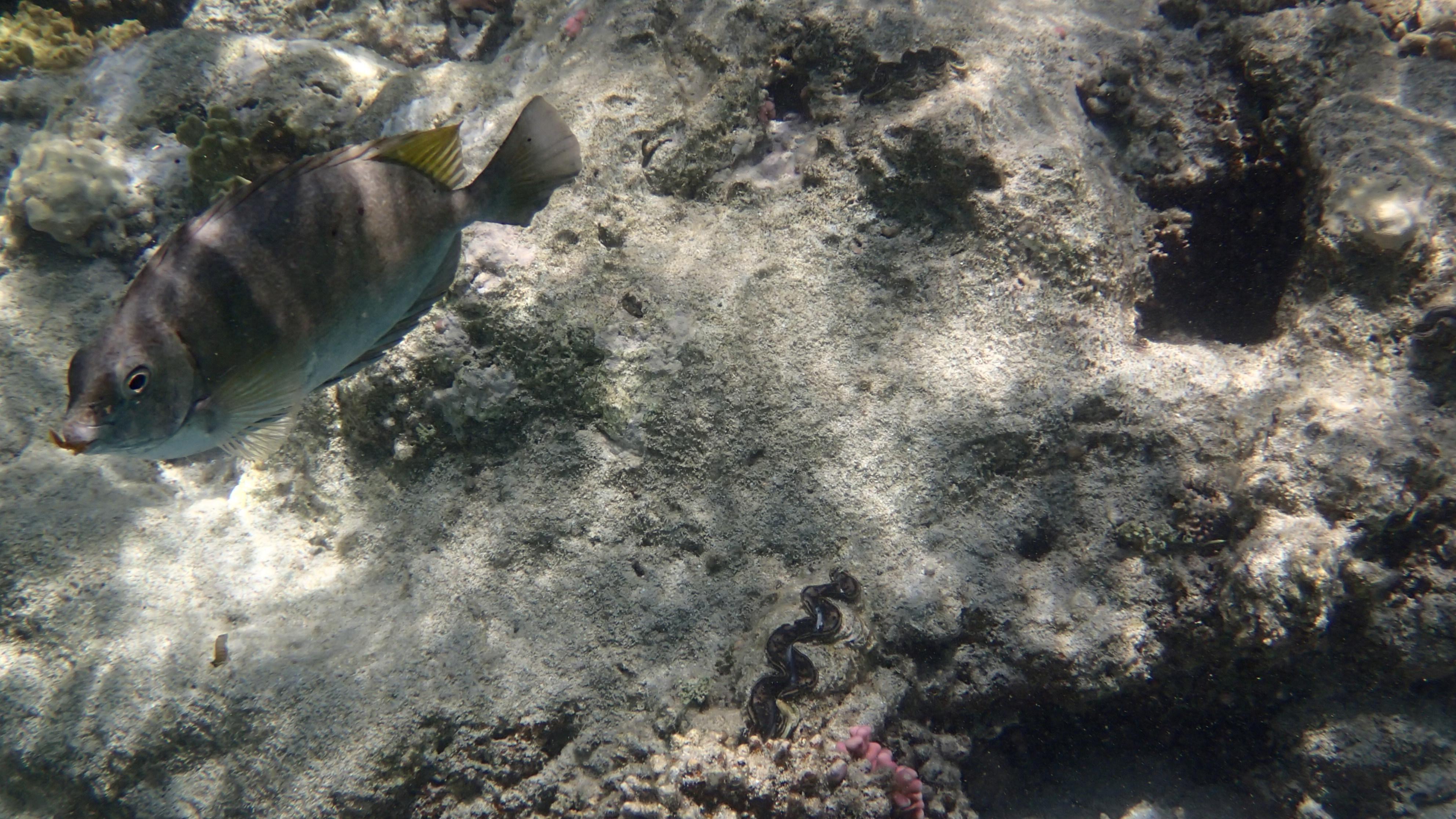 Смуглый сиган (лат.Siganus luridus, анг.Dusky spinefoot)
