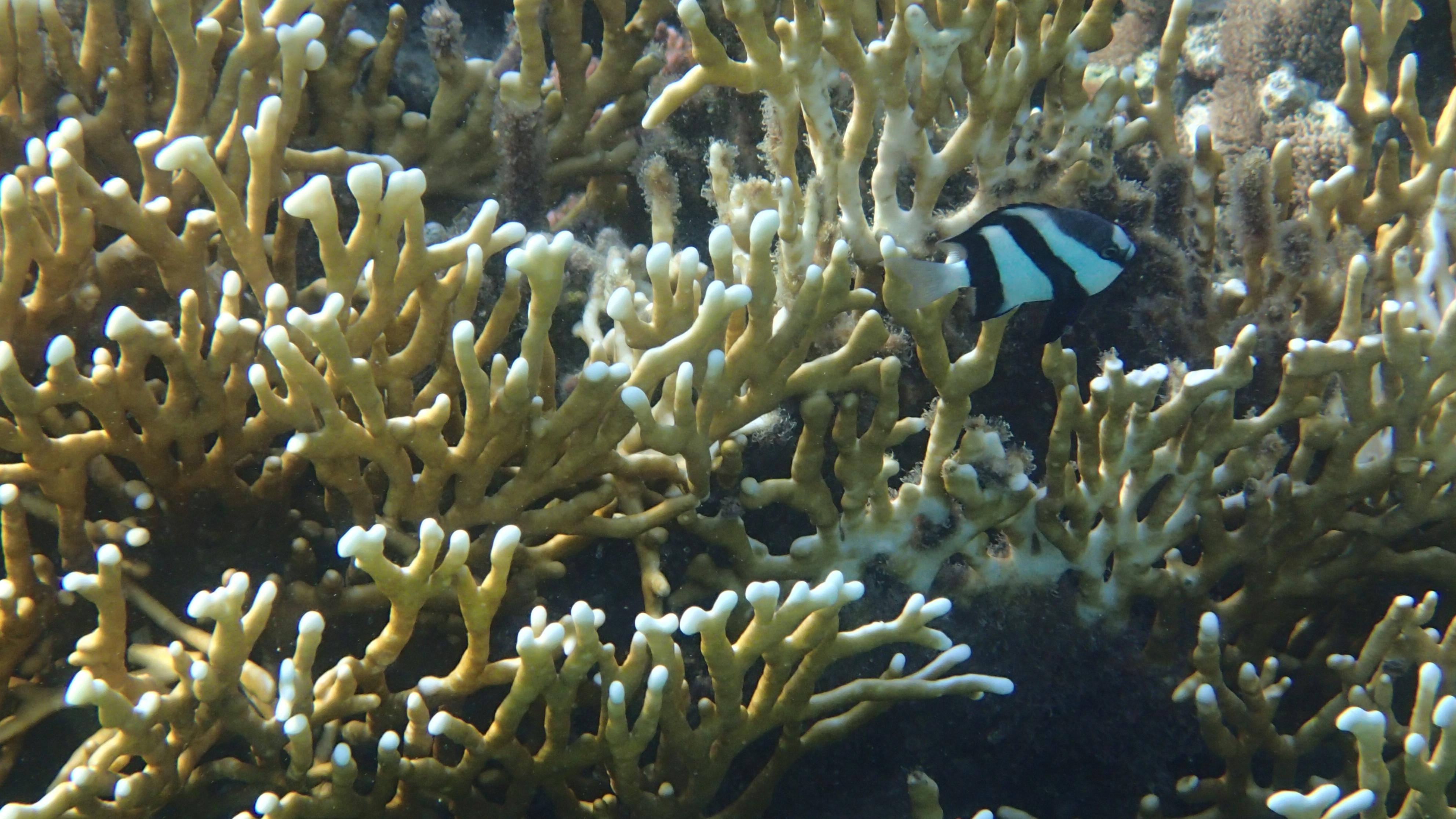 Дасцилл-зебра белохвостая (лат.Dascyllus aruanus) на фоне сетчатого огненного коралла