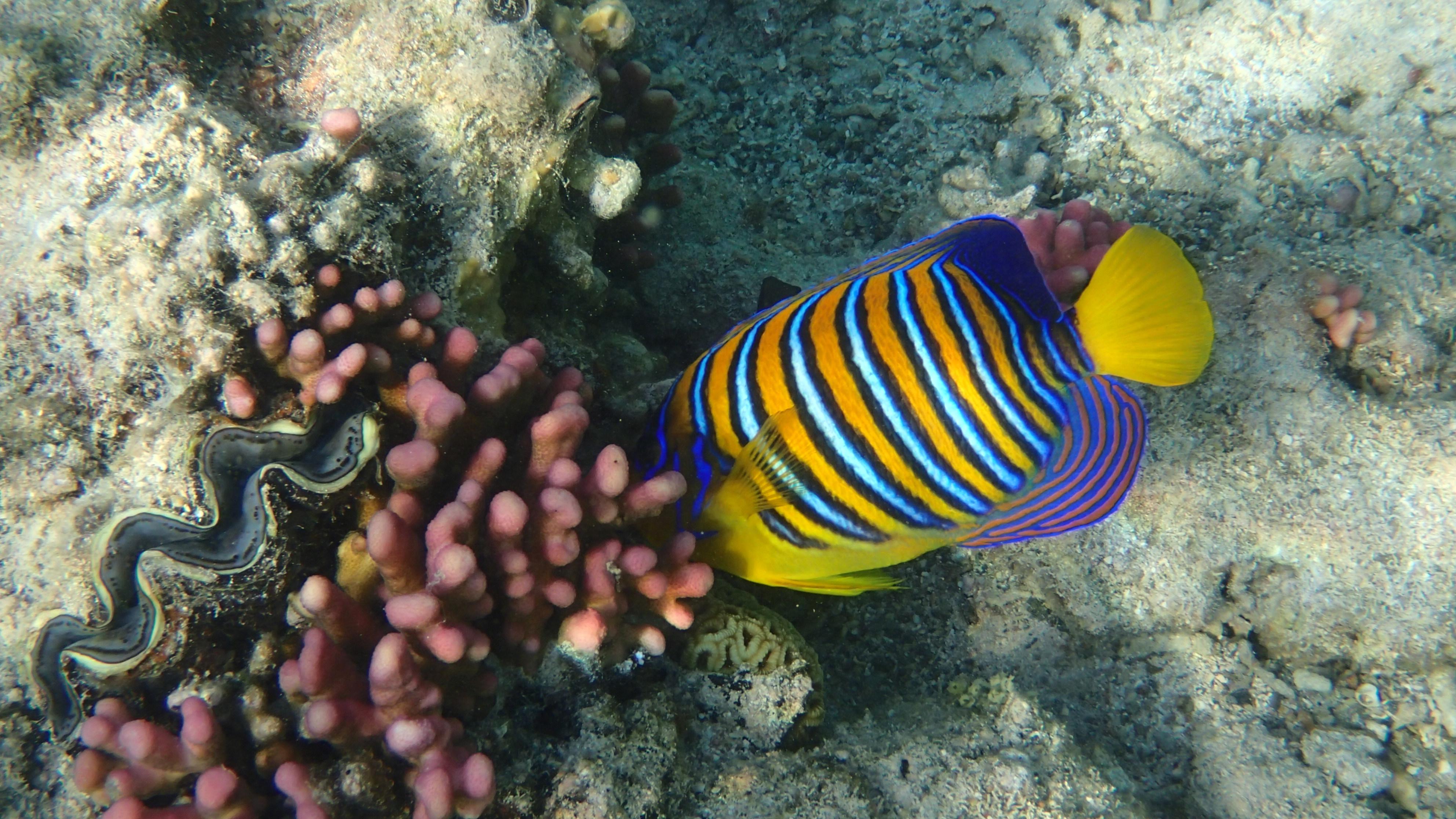 Королевская рыба-ангел (лат. Pygoplites diacanthus , анг.Royal angelfish)