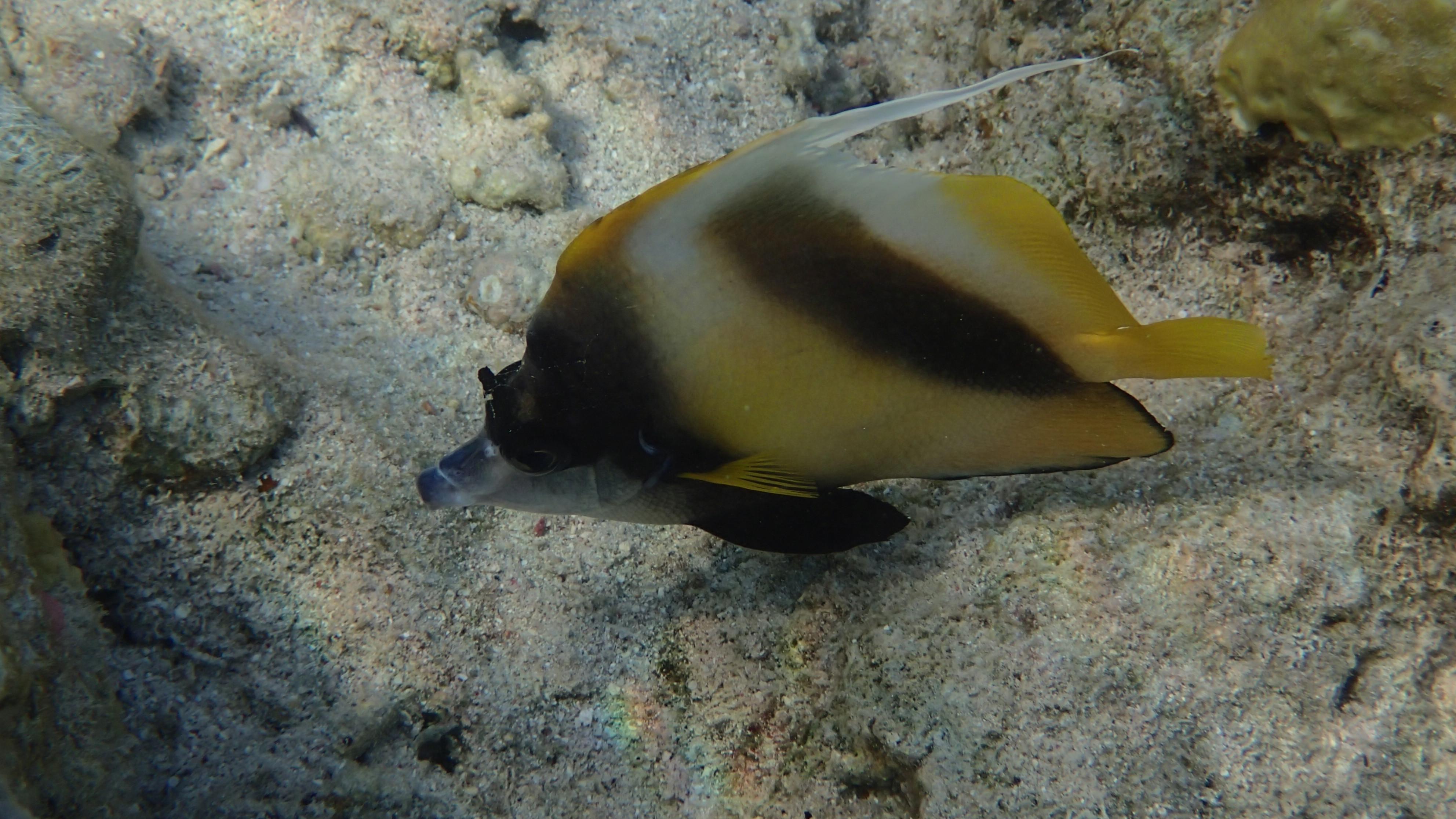 Красноморская кабуба (лат.Heniochus intermedius, анг.Red sea bannerfish)
