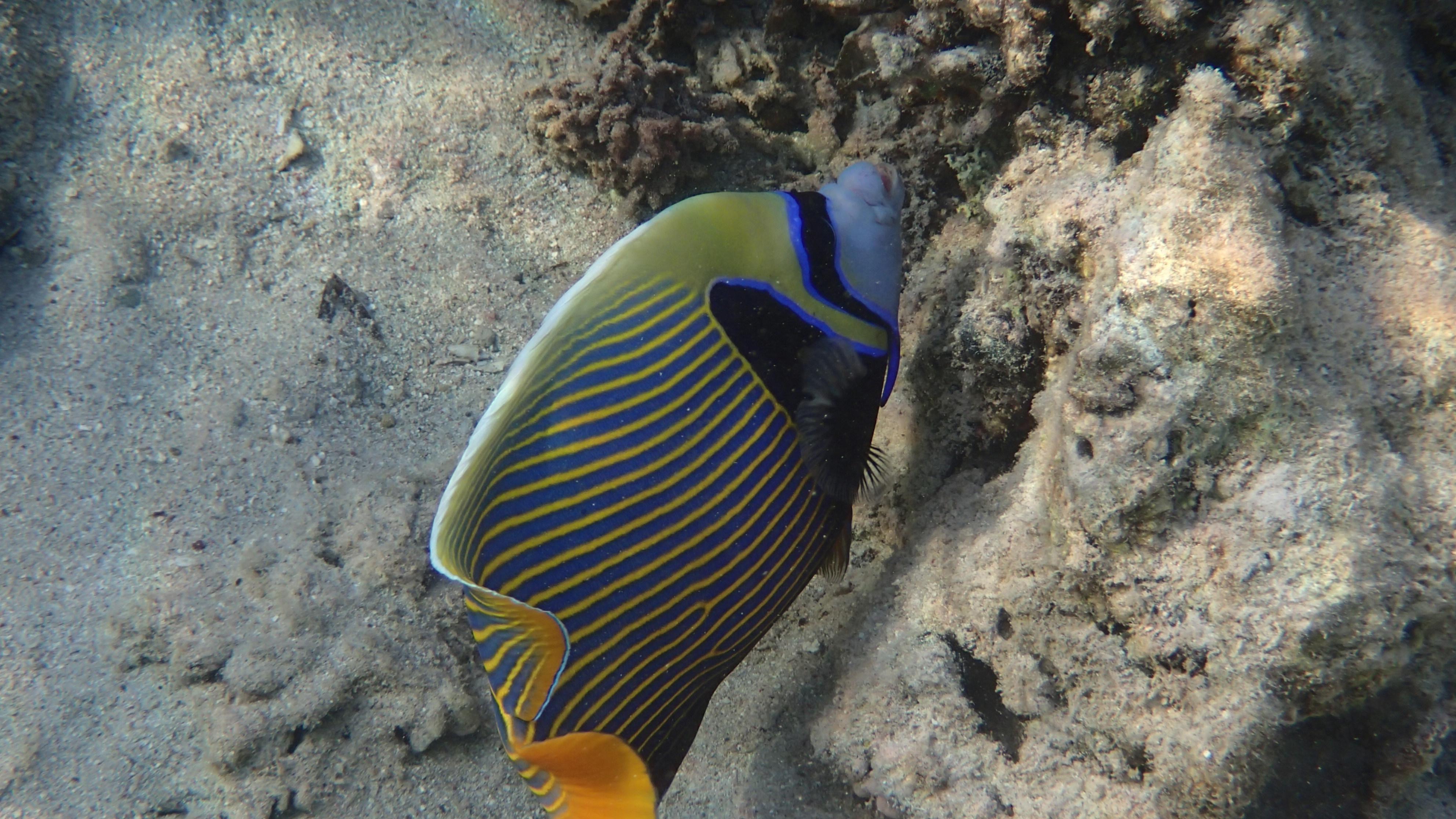 Императорский ангел (лат.Pomacanthus imperator, анг.Emperor angelfish)