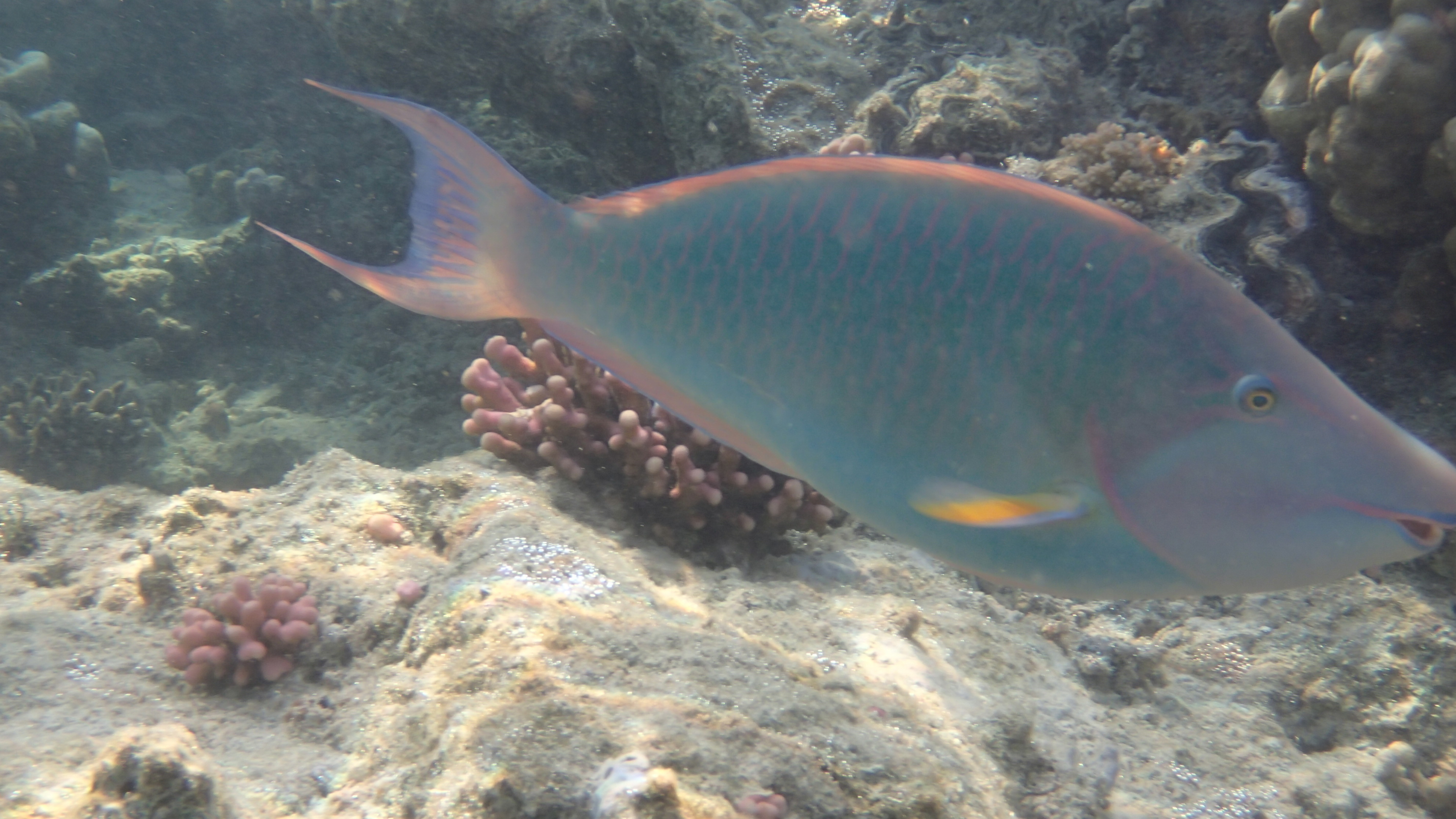 Длинноносый попугай (лат.Hipposcarus harid, анг.Longnose parrotfish)