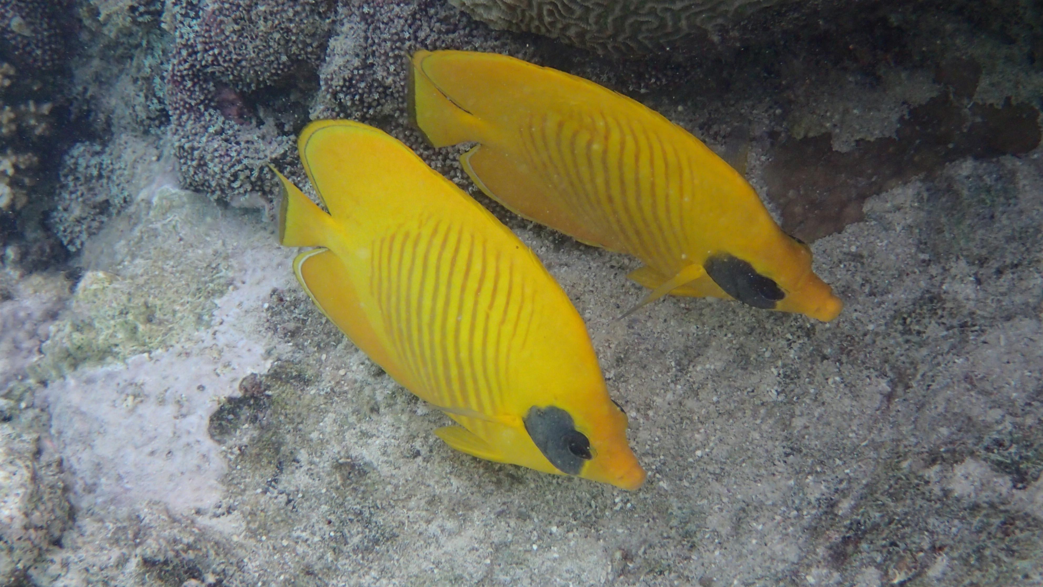 Рыбы-бабочки Chaetodon semilarvatus