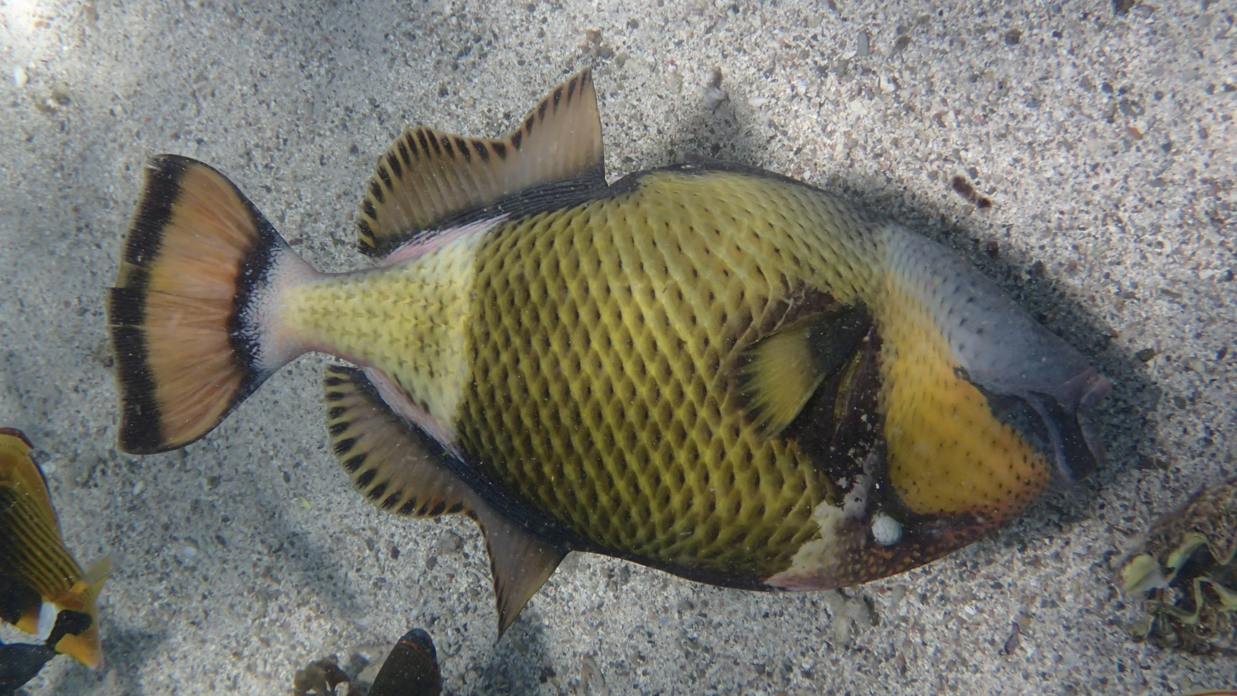 Спинорог-титан (лат.Balistoides viridescens, анг.Titan triggerfish)