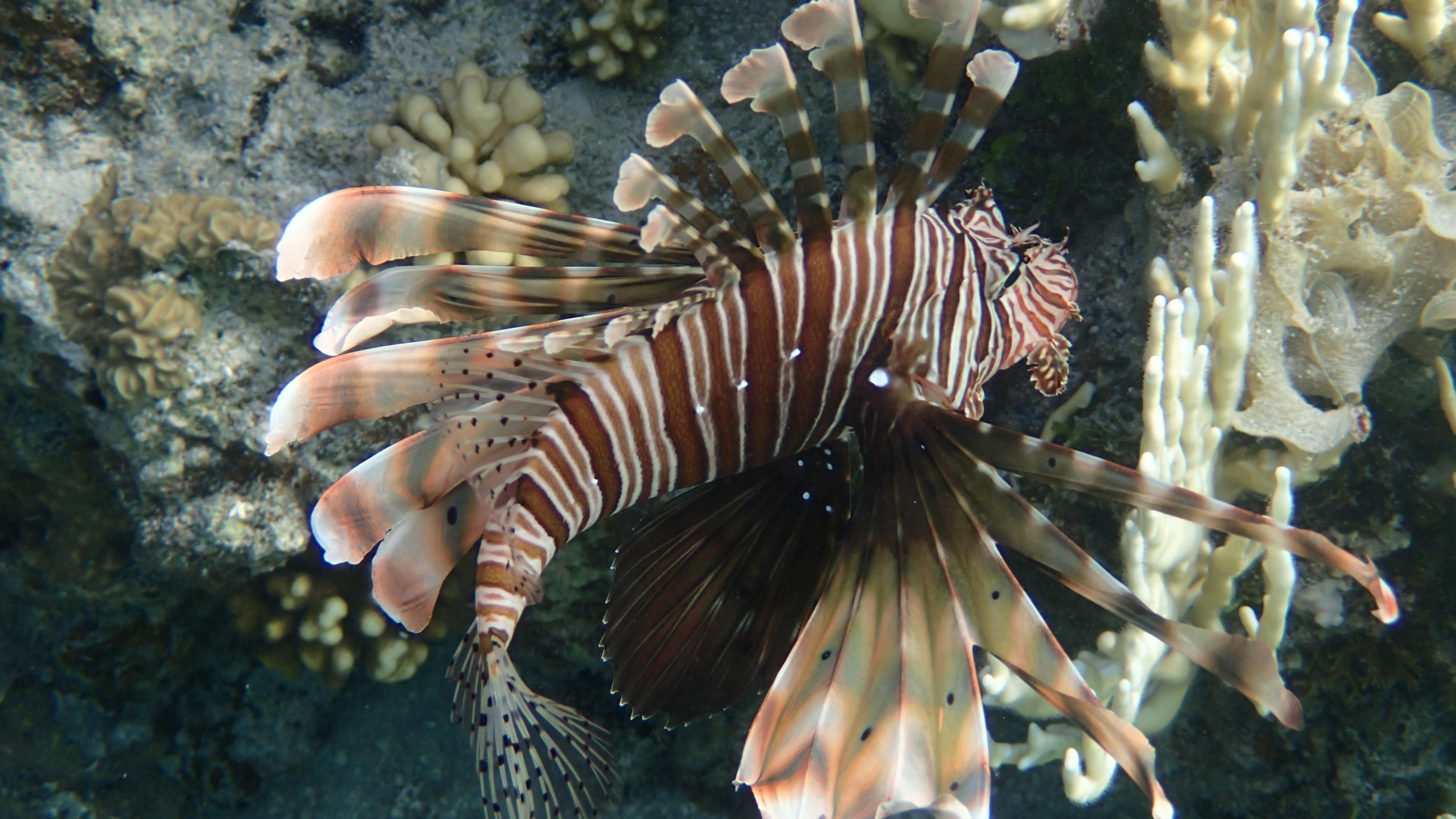 Индийская крылатка (лат.Pterois miles, анг.Devil firefish)