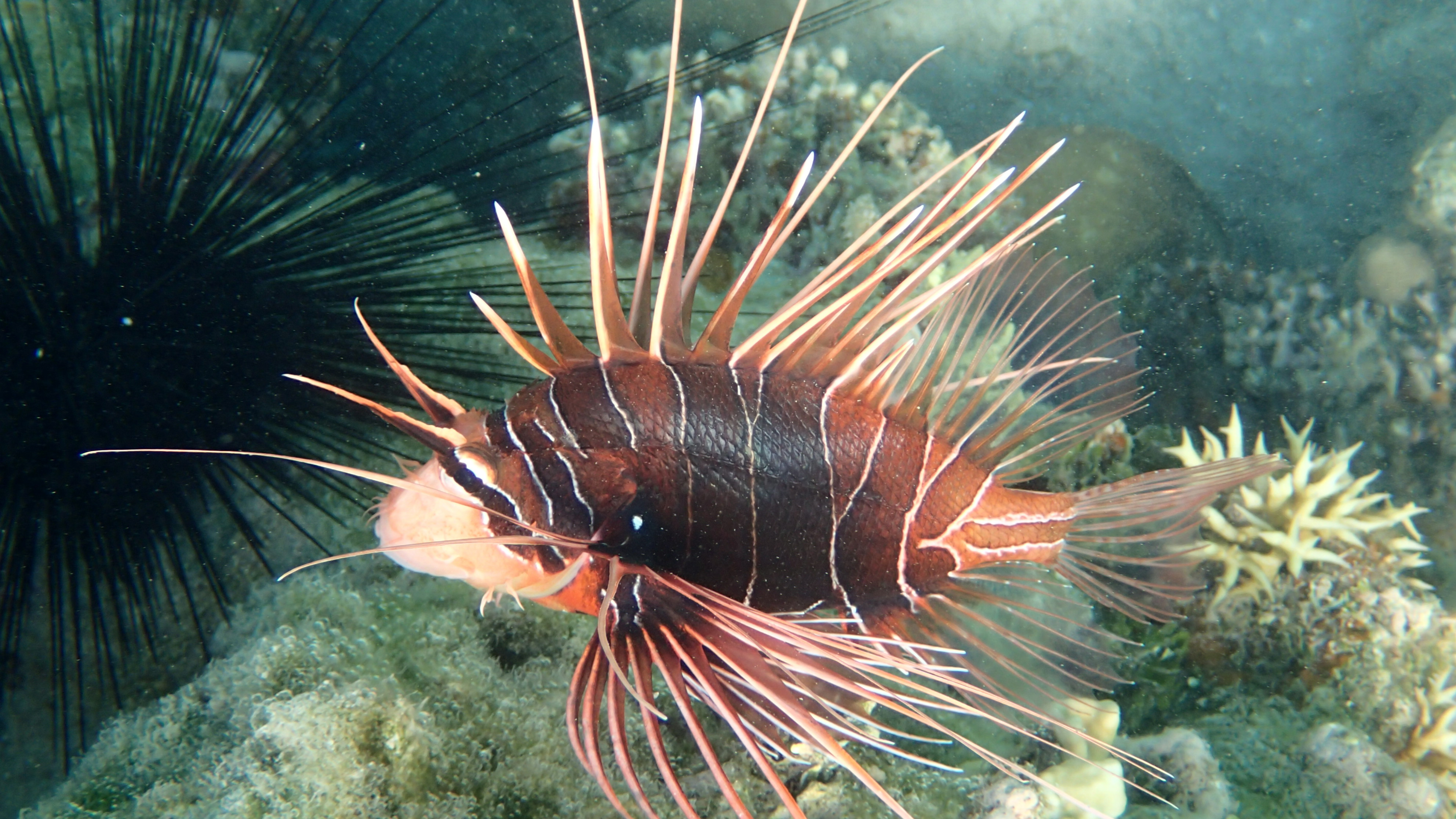 Крылатка голоплавничная (лат.Pterois radiata, анг.Radial firefish)