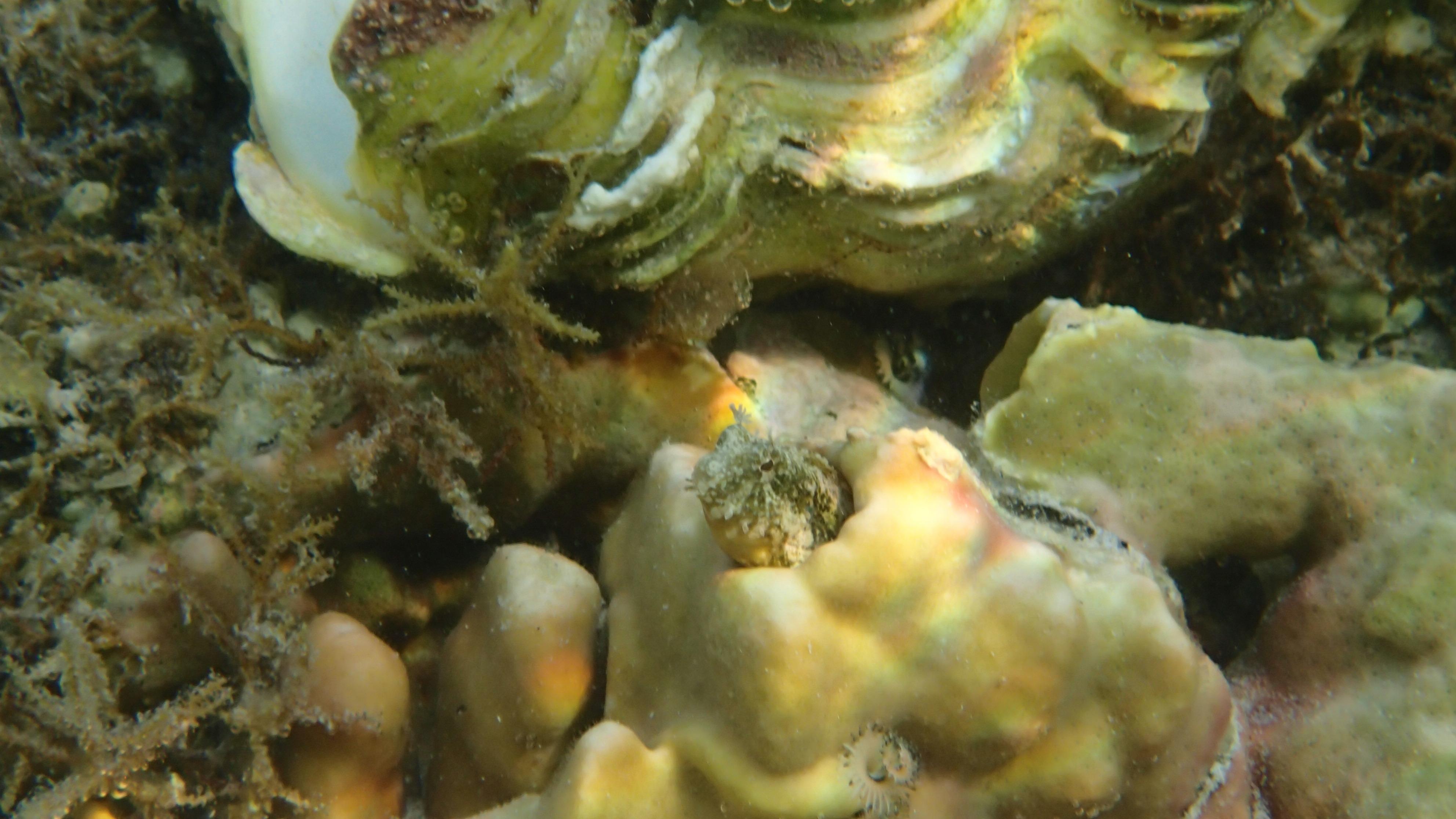 Украшенная морская собачка ? (лат.Salarias fasciatus, анг.Jewelled blenny)
