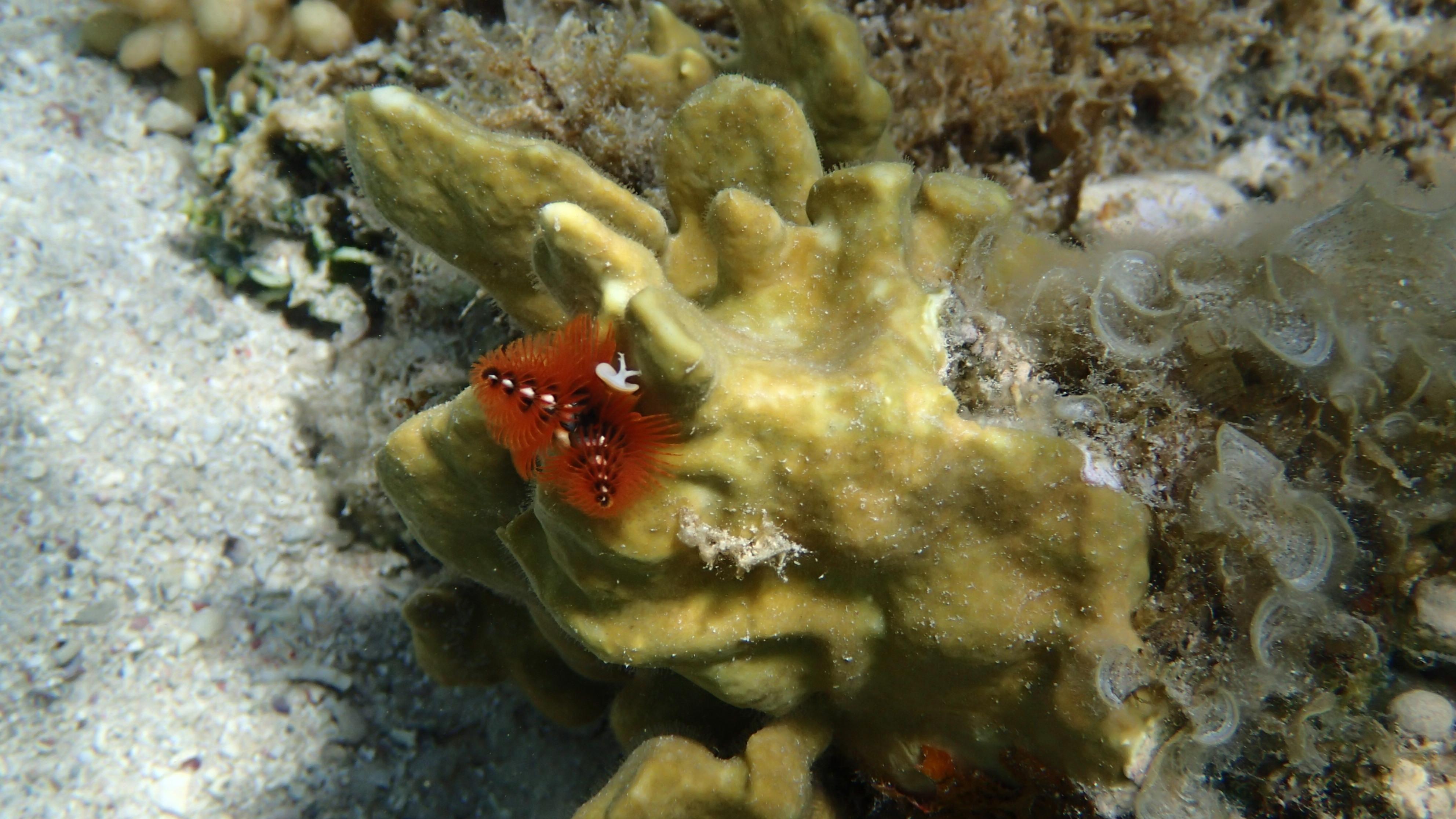Червь-полихет Спиробранхус или Рождественская ёлка (лат.Spirobranchus giganteus, анг.Christmas tree worm)