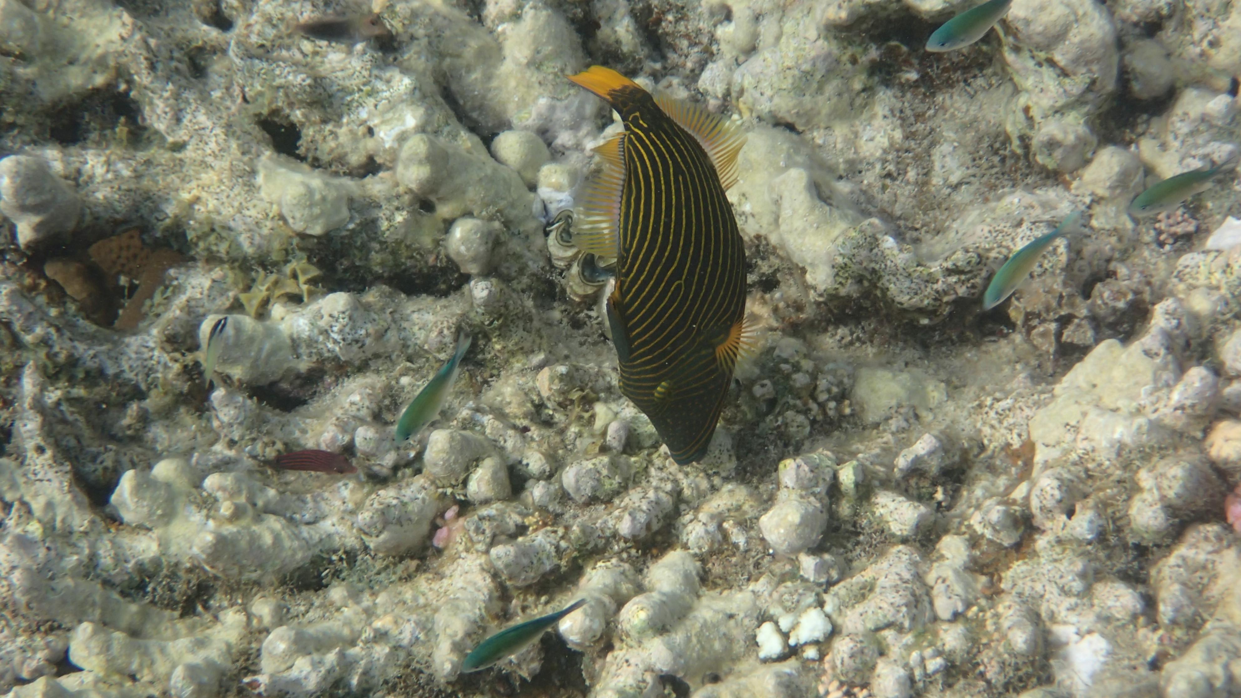 Оранжевоперый спинорог (лат.Balistapus undulatus, анг.Orangelined triggerfish)