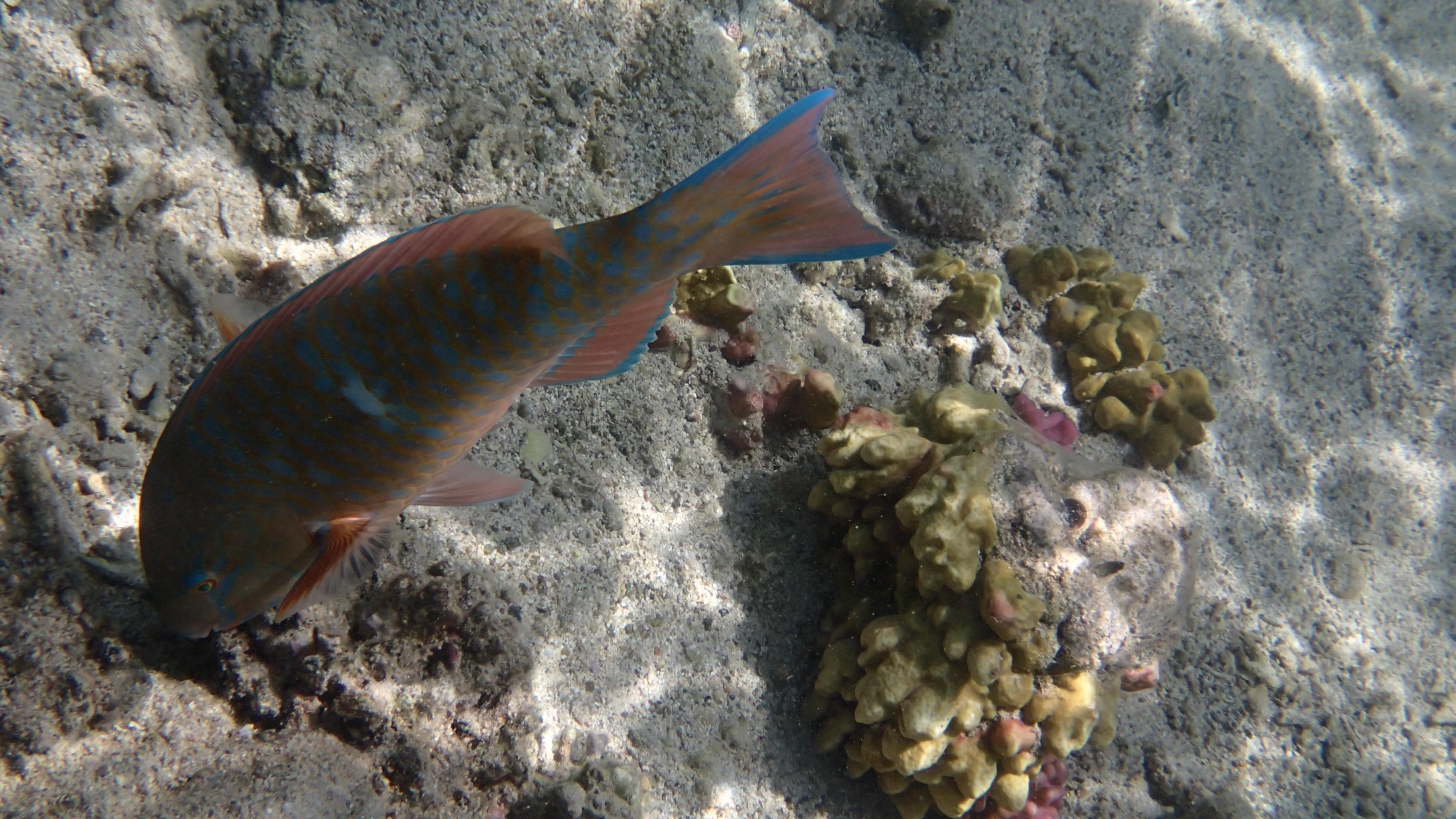 Синечешуйная рыба-попугай - переход к мужской стадии (лат.Scarus ghobban male, анг.Blue-barred parrotfish)