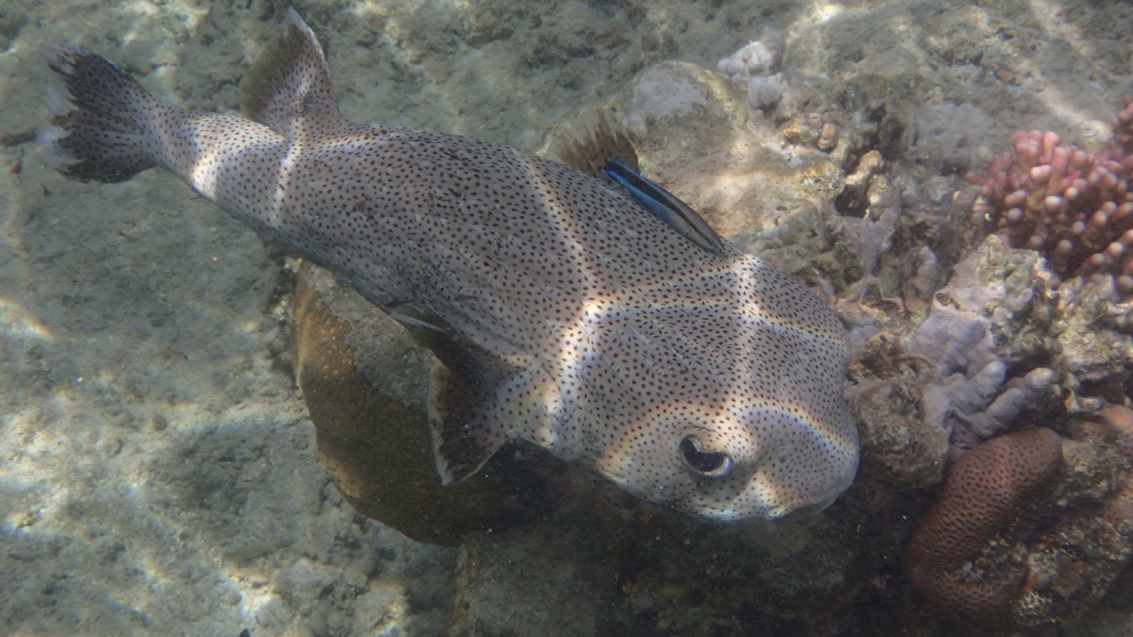 Длинношипая рыба-ёж (лат.Diodon hystrix, англ.Spot-fin porcupinefish)