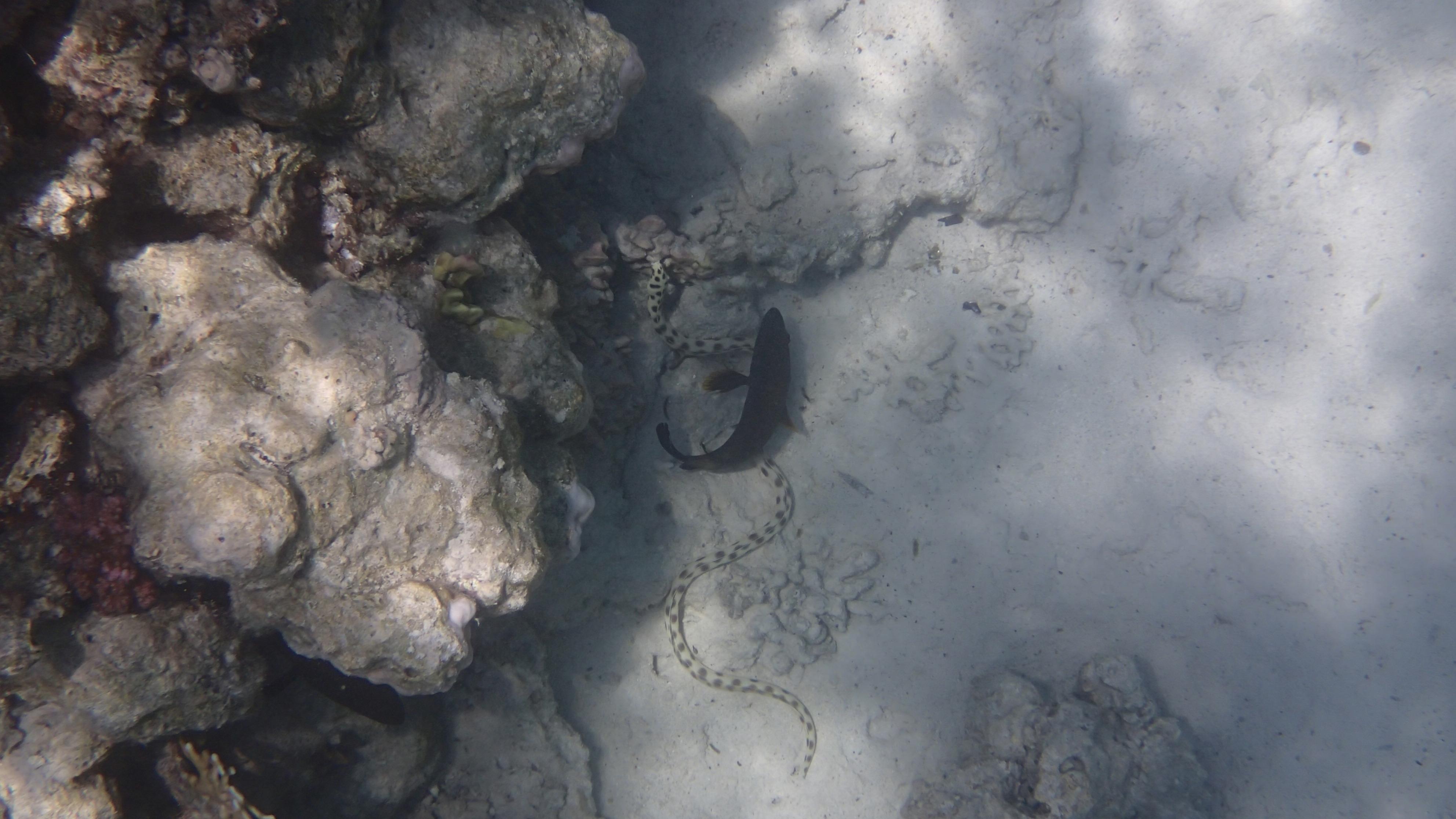 Тигровый острохвостый угрь (лат.Myrichthys maculosus, анг.Tiger snake eel)