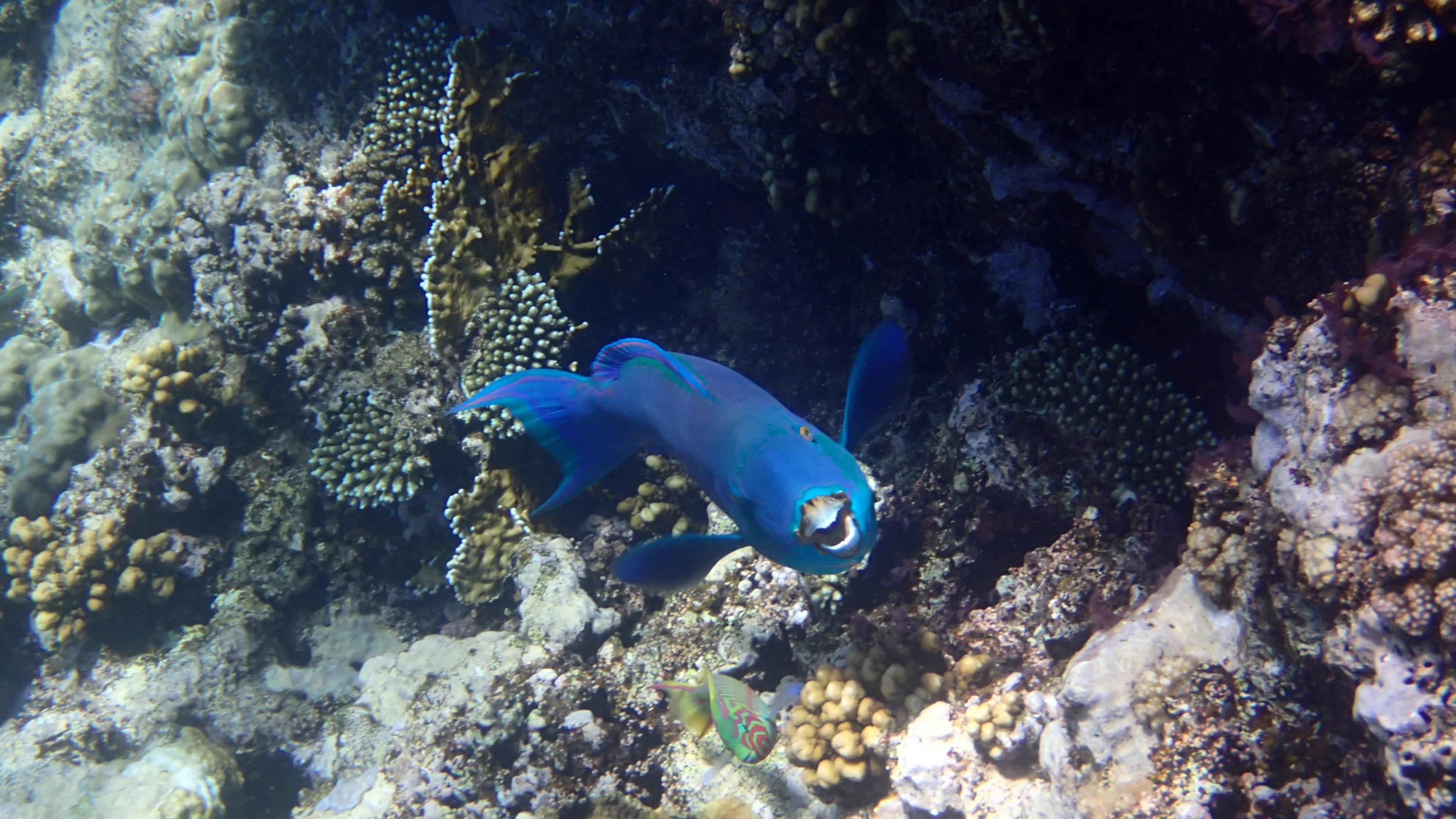 Крутолобый попугай, лат.Chlorurus gibbus, анг.Heavybeak parrotfish