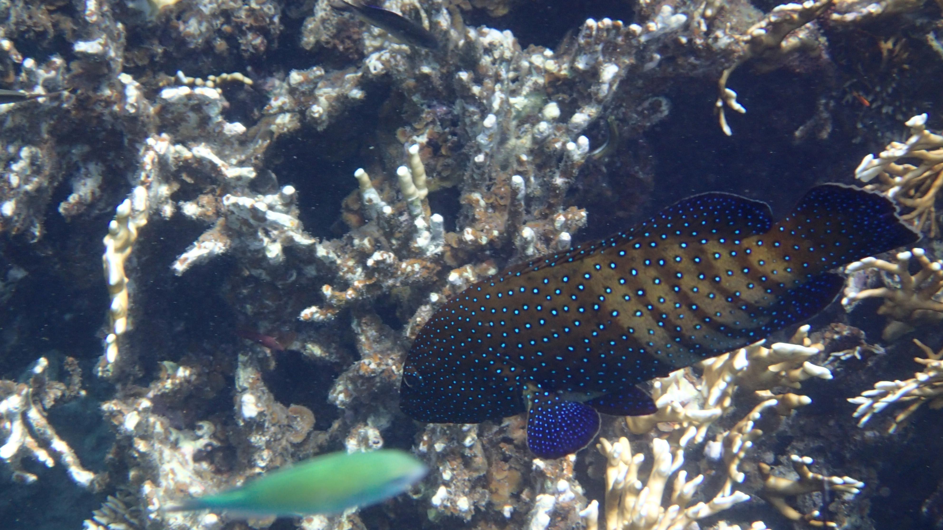Павлинья гаррупа, лат.Cephalopholis argus, анг.Peacock grouper