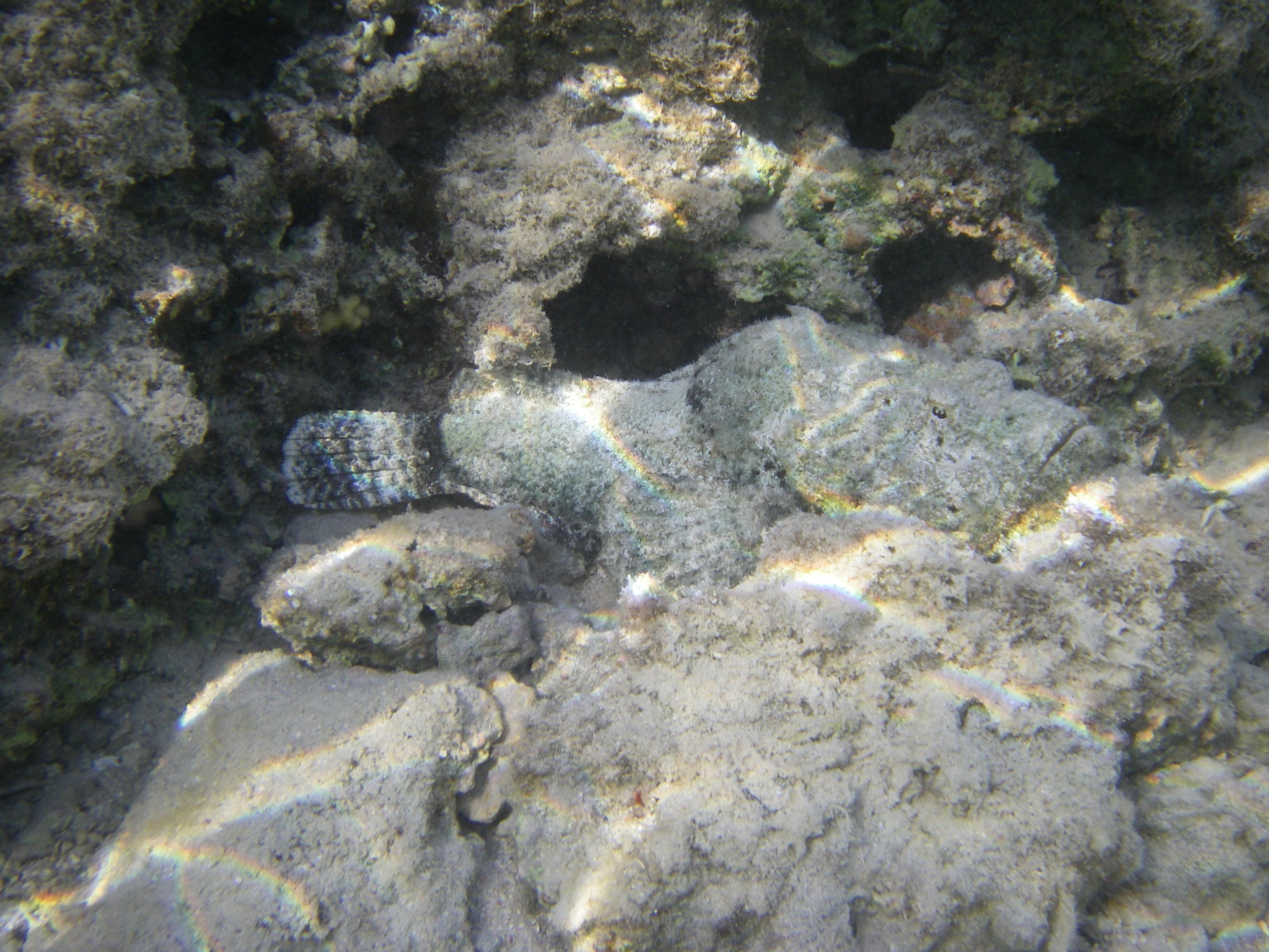 Ложная бородавчатка или дъявольский скорпенопс, лат.Scorpaenopsis diabolus, анг.Devil scorpionfish