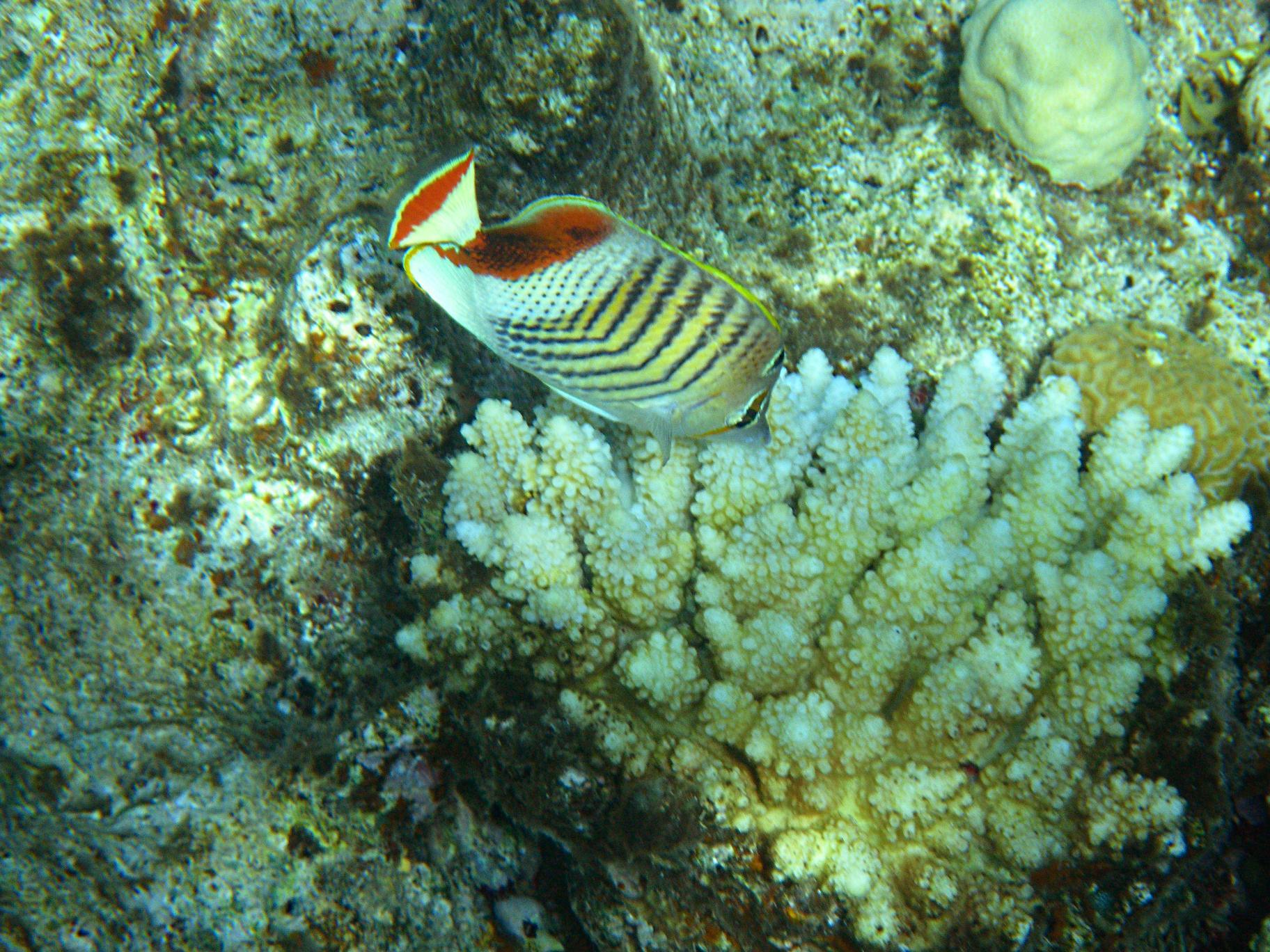 Красноспинная рыба-бабочка, лат.Chaetodon paucifasciatus, анг.Eritrean butterflyfish