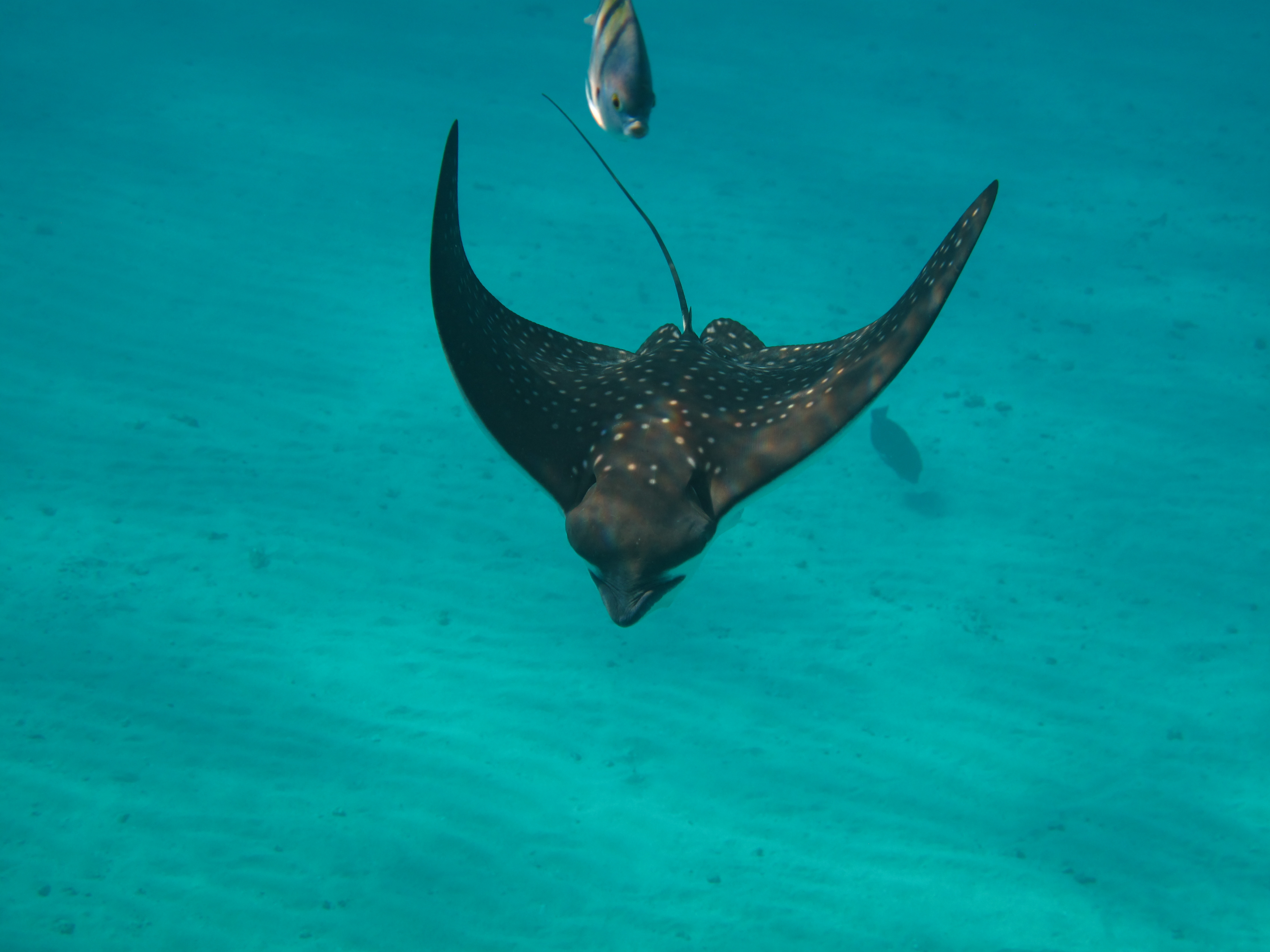Spotted eagle ray. Movenpick El Quseir. Egypt