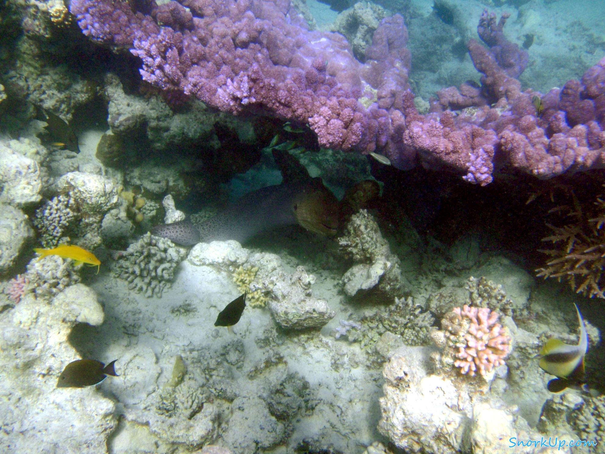 Гигантская мурена под древовидным синим кораллом (это еще «мелкий» экземляр коралла )