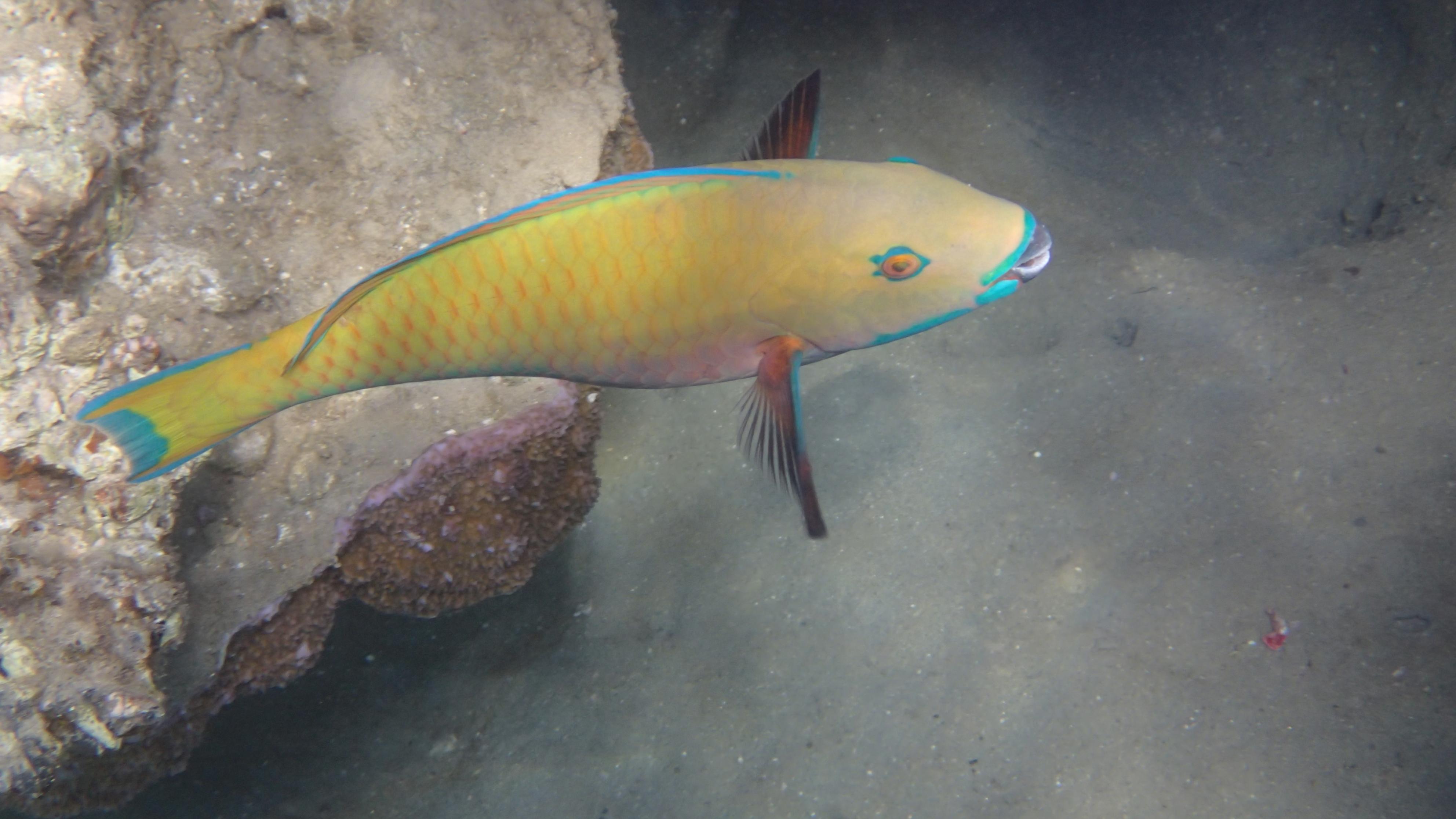 Самка крутолобого попугая, лат.Chlorurus gibbus (Scarus gibbus), анг.Heavybeak parrotfish - female