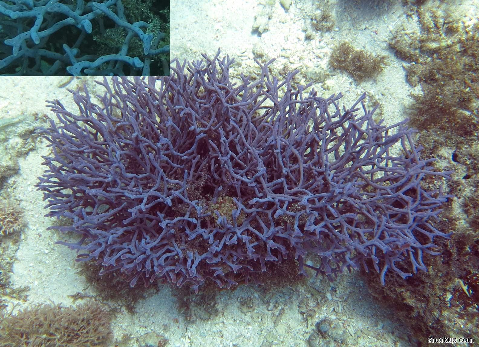 Губка Callyspongia samarensis, анг.Tangled sponges или Haliclona koremella ?