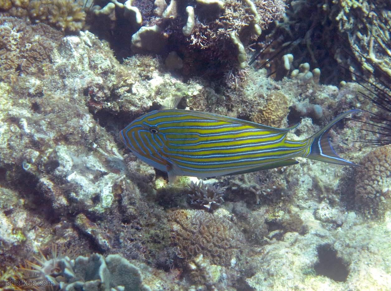 Хирург полосатый, лат.Acanthurus lineatus, анг. Lined surgeonfish