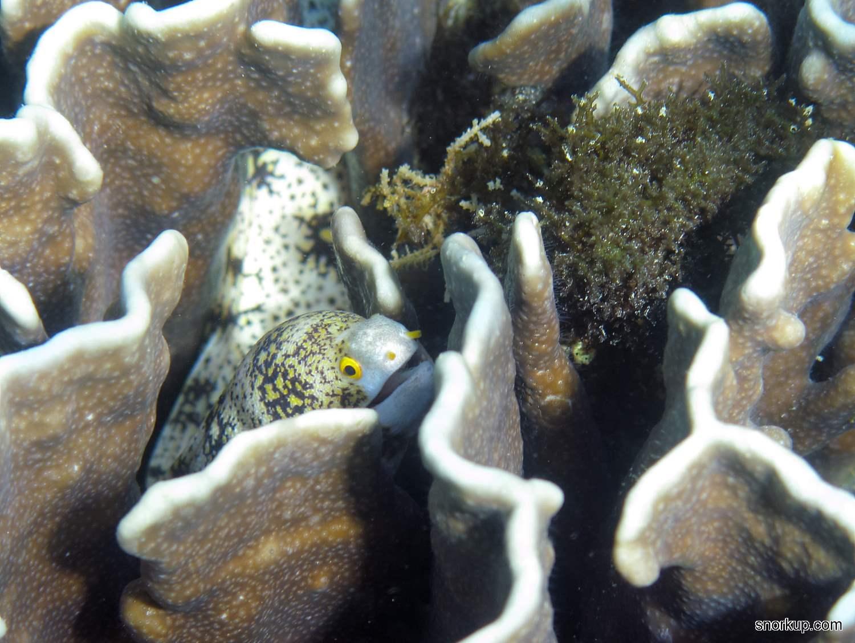Мурена-ехидна звёздчатая, лат.Echidna nebulosa, анг.Snowflake moray