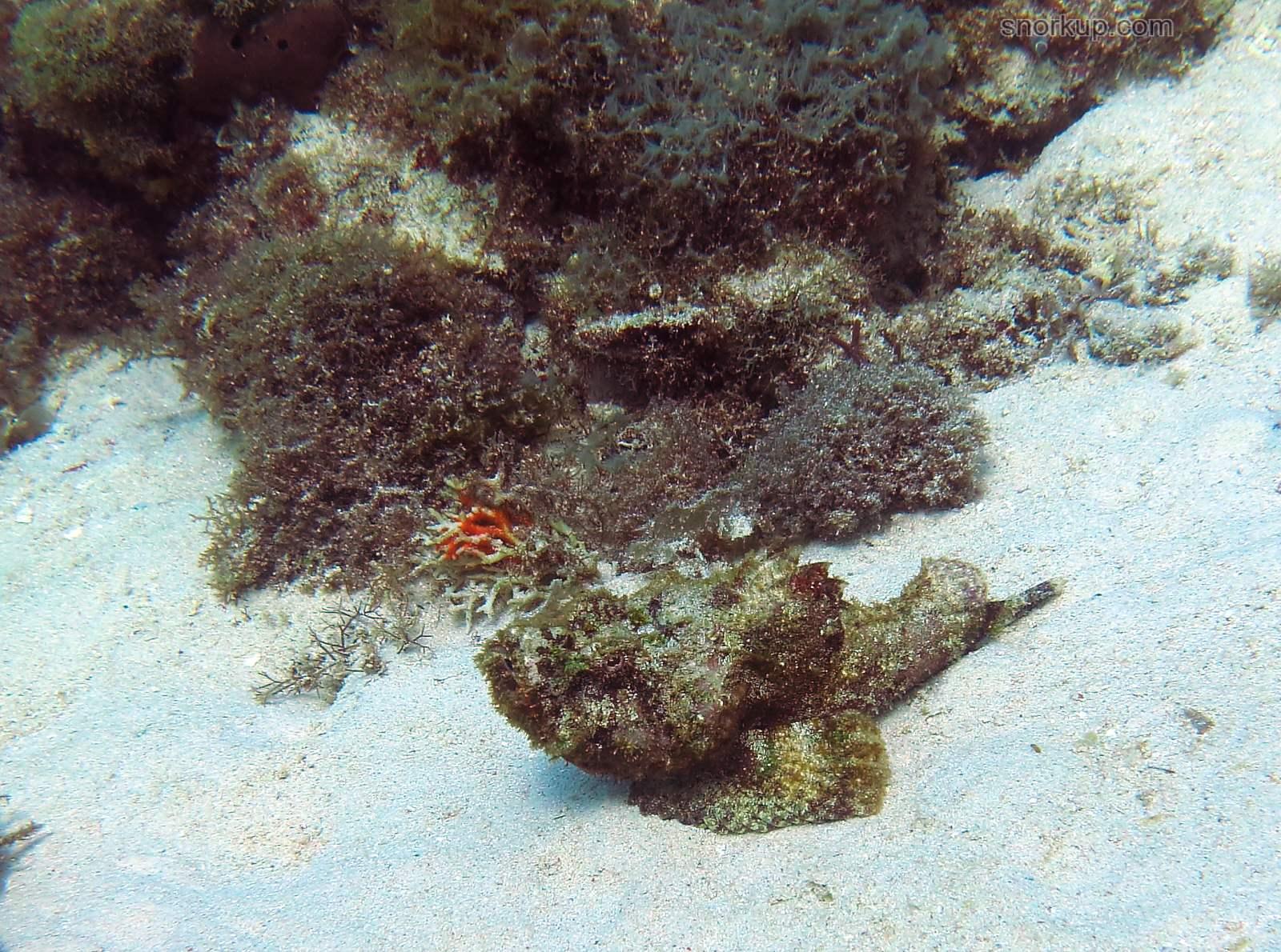 Ложная бородавчатка или дъявольский скорпенопс, лат.Scorpaenopsis diabolus, анг.Devil scorpionfish - поначалу принял за Рыбу-камень (Synanceia verrucosa)