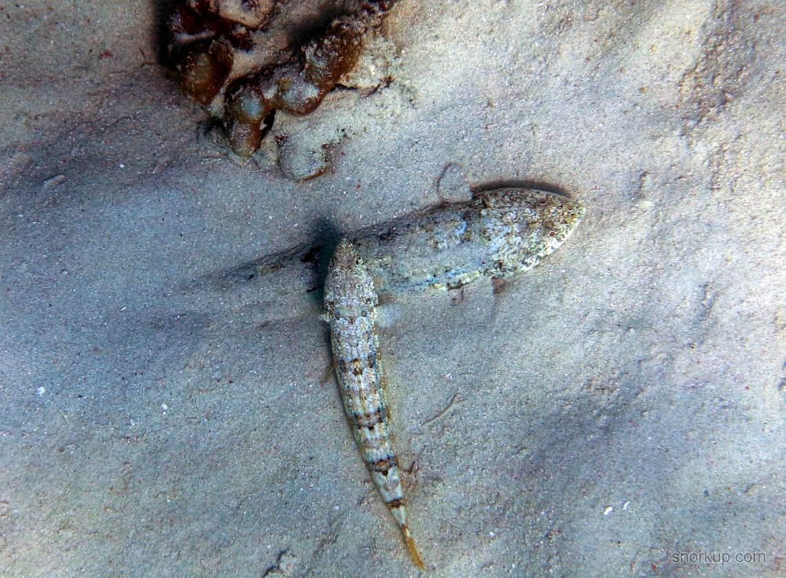 Ящероголов Фаулера, лат.Synodus dermatogenys, анг.Sand lizardfish ?