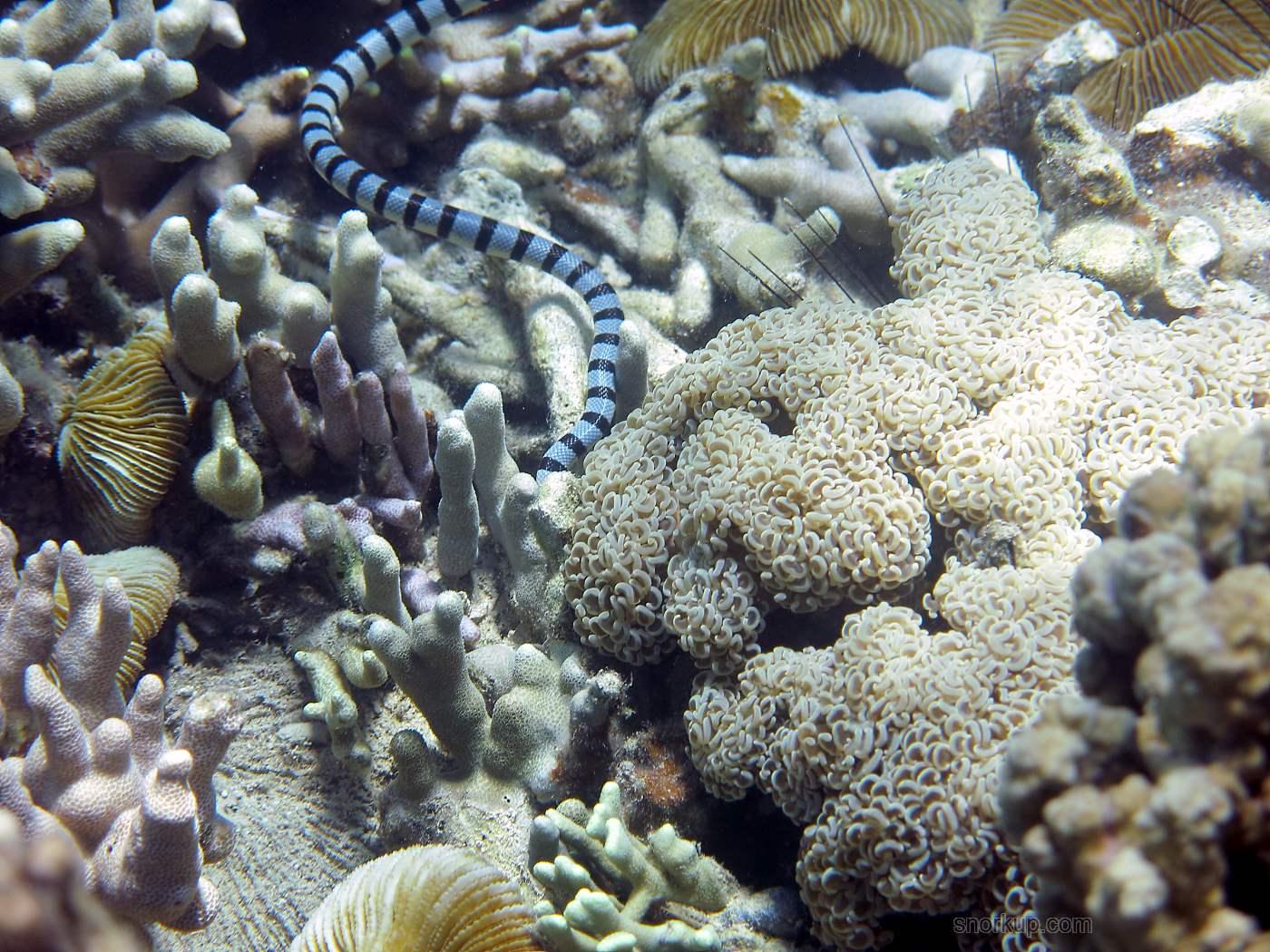 Кольчатый плоскохвост, а справа Молоточковый коралл или Euphyllia ancora