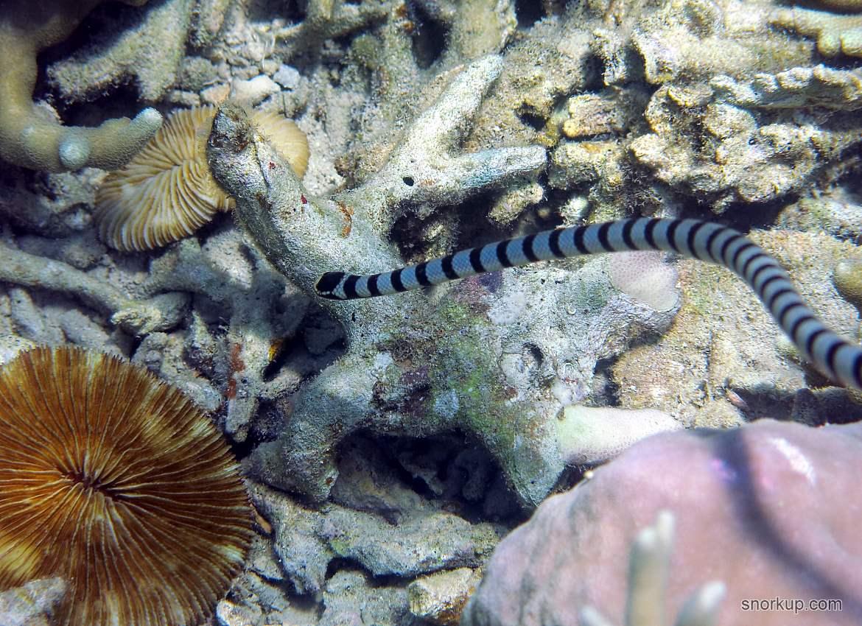 Морская змея Кольчатый плоскохвост, лат.Laticauda semifasciata, анг.Blue-lipped sea krait