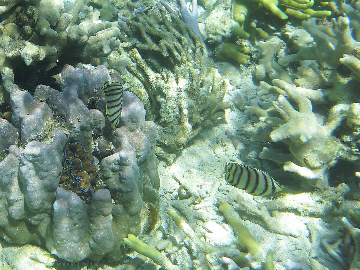 Восьмиполосая бабочка, лат.Chaetodon octofasciatus, анг.Eightband butterflyfish