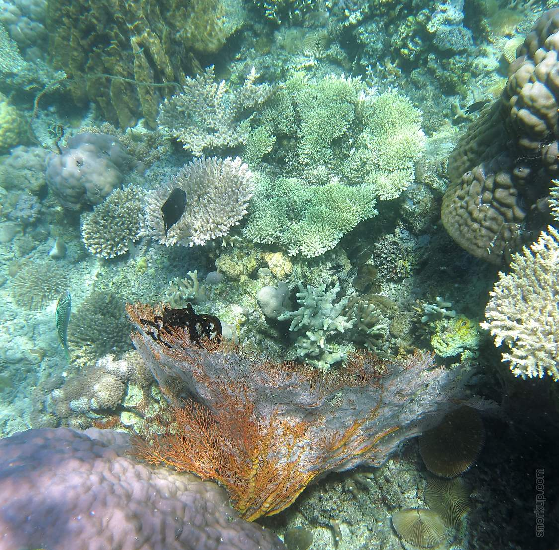 Горгонария или Морской веер