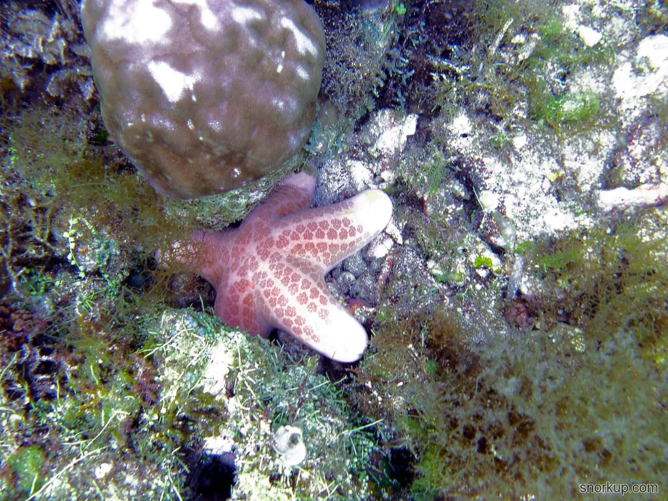 Морская звезда Зернистый хориастер - Choriaster granulatus - Granulated sea star