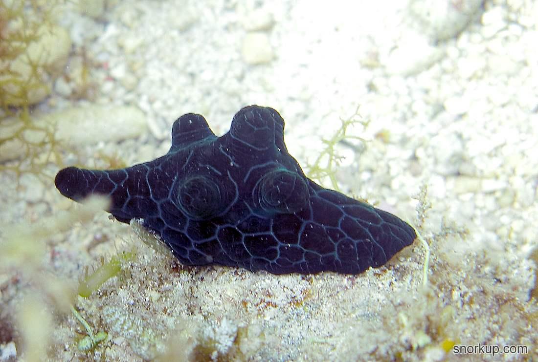 Чёрная кориоцелла - Coriocella nigra - Black coriocella