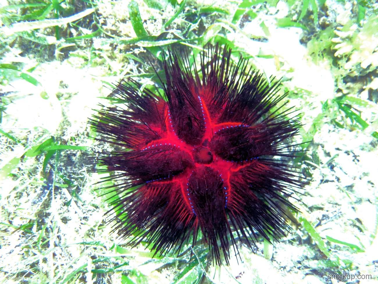 Красный диадемовый морской ёж - Astropyga radiata - Radiant Sea Urchin