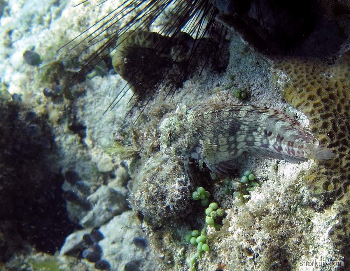 Бриллиантовый саларий - Salarias fasciatus - Jewelled blenny
