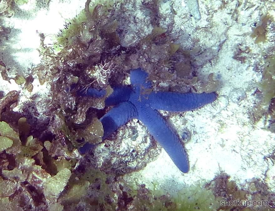 Морская звезда Голубая линкия - Linckia laevigata - Blue starfish