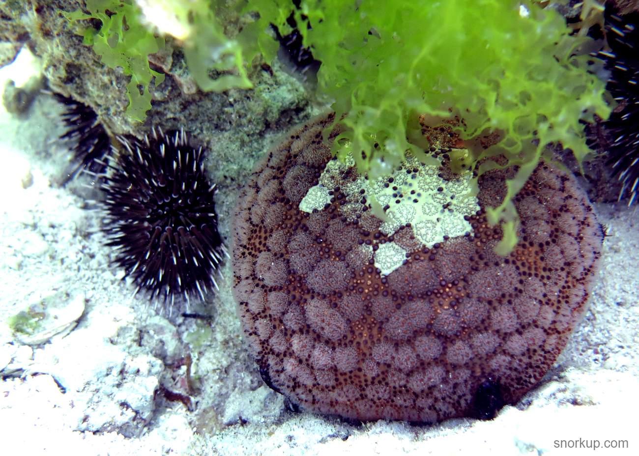 Кульцита Шмидта - Culcita schmideliana - Spiny Cushion Starfish. Больше похожа на ежа, но это морская звезда!