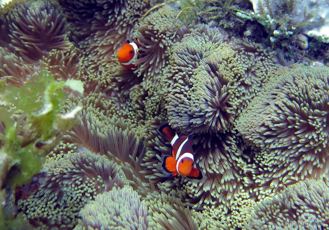 Анемоновая рыбка - Amphiprion ocellaris - Clown anemone