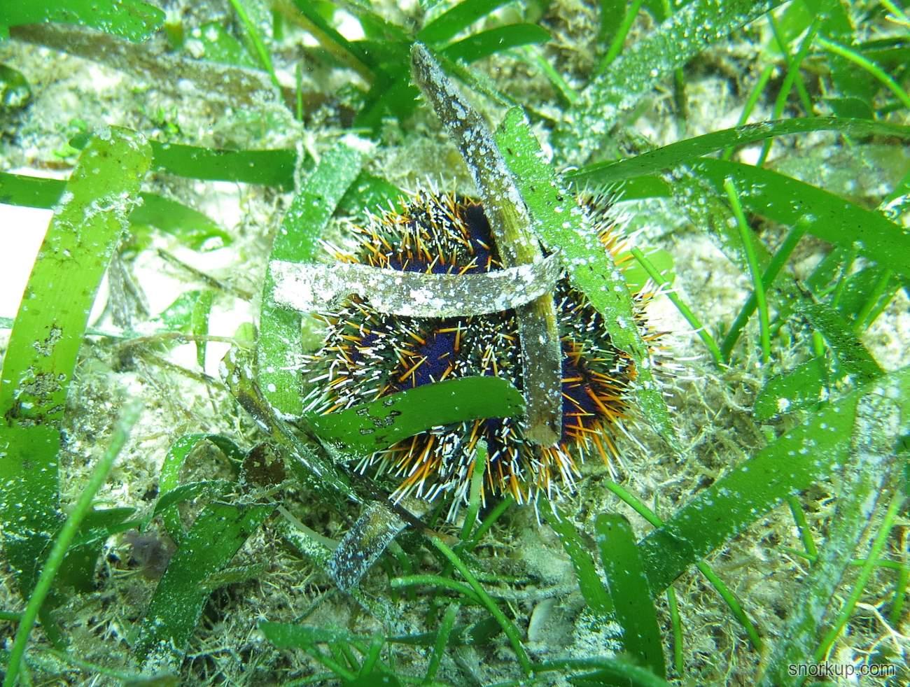 Морской ёж пасторская шапочка - Tripneustes gratilla - Multicolor sea urchin или Mespilia globulus?