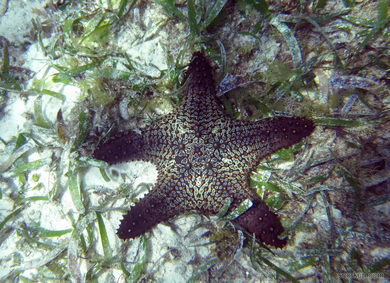 Морская звезда Pentaceraster sp.