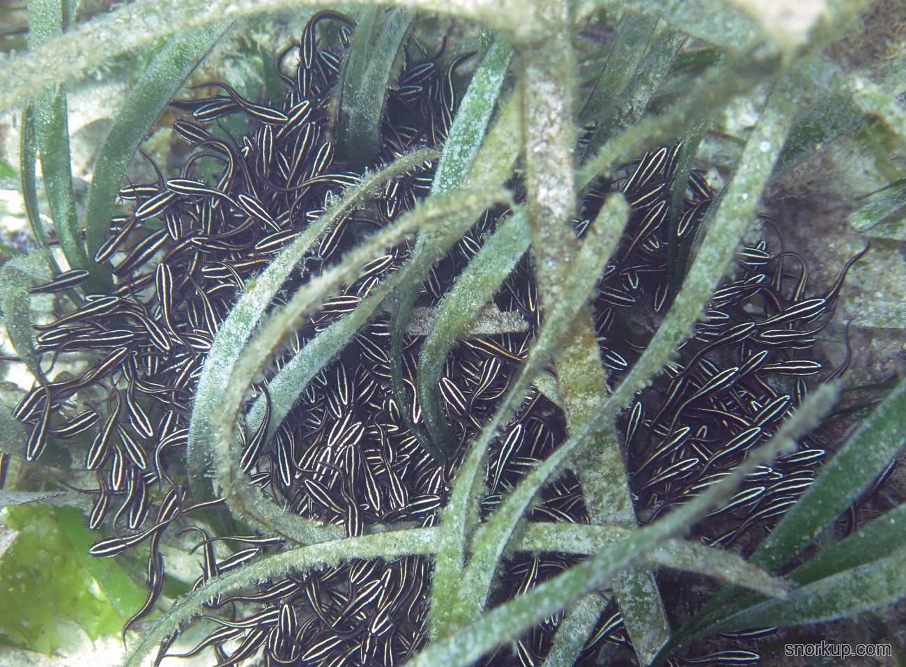 Полосатые угрехвосты - Plotosus lineatus - Striped eel catfish