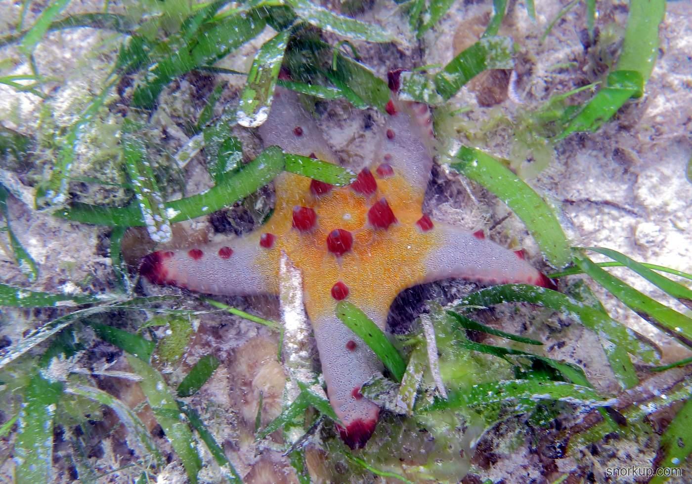 Морская звезда Pentaceraster alveolatus (juvenile?)